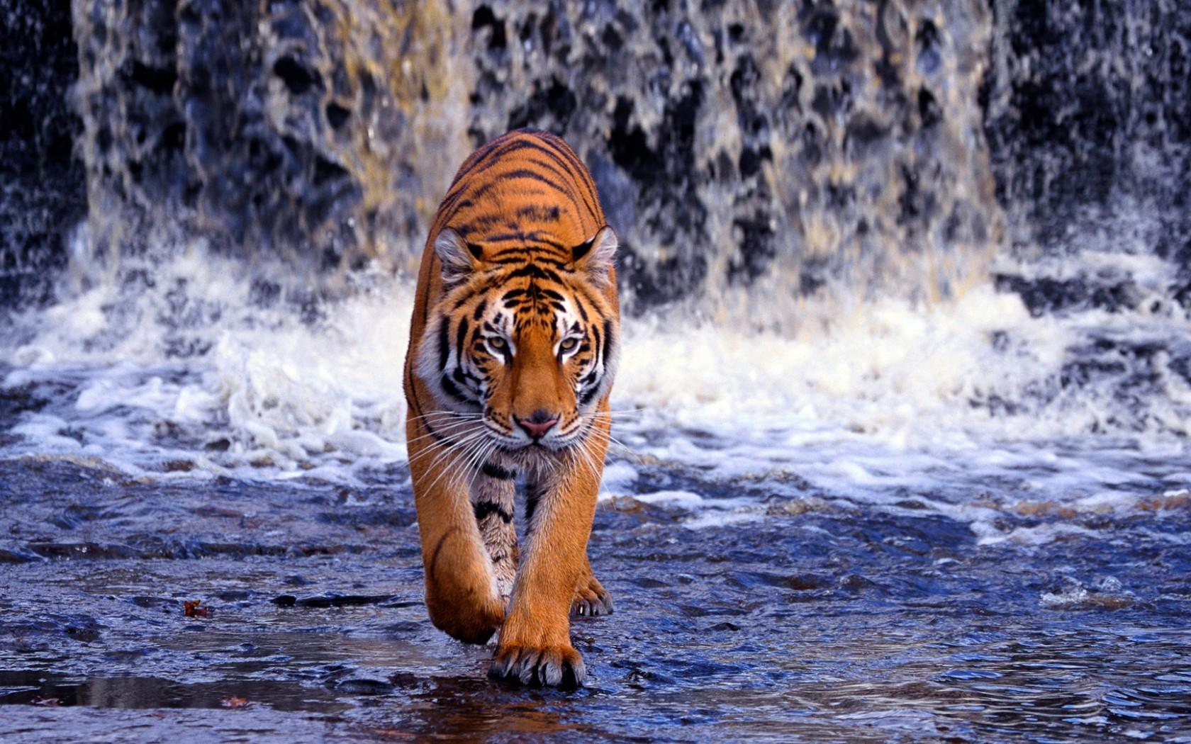 20299 Hintergrundbild herunterladen Tigers, Tiere - Bildschirmschoner und Bilder kostenlos