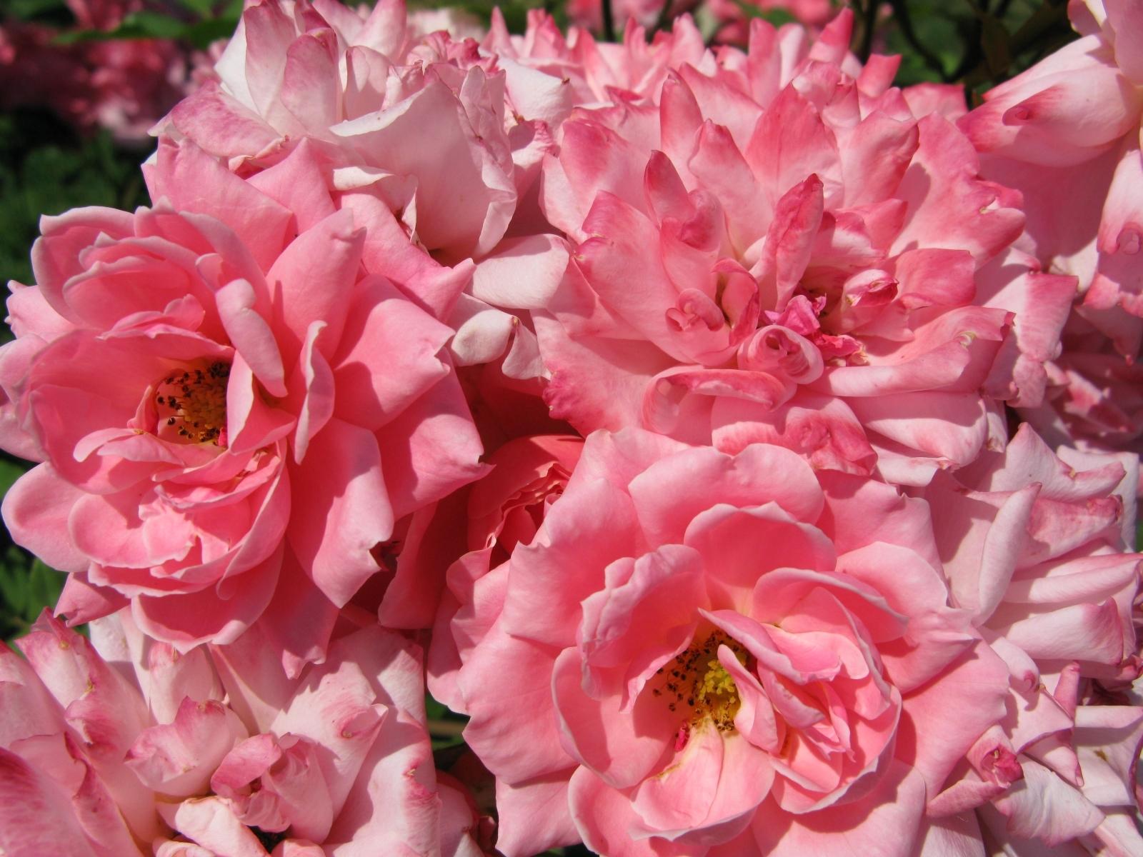 7302 скачать обои Растения, Цветы, Розы - заставки и картинки бесплатно