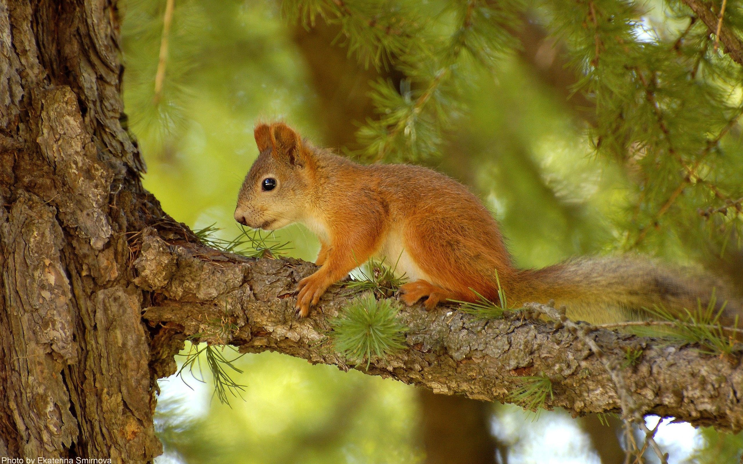155756 download wallpaper Animals, Squirrel, Pine, Wood, Tree, Summer, Hunting, Hunt screensavers and pictures for free