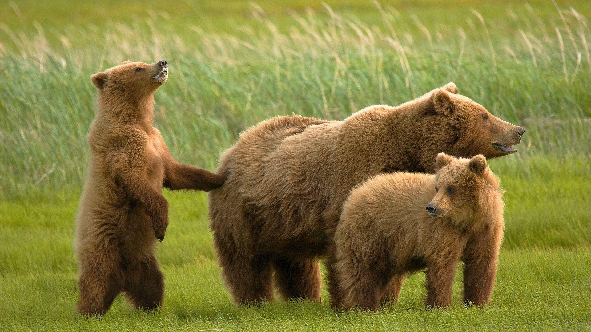 147613 Заставки и Обои Медведи на телефон. Скачать Медведи, Животные, Трава, Семья картинки бесплатно