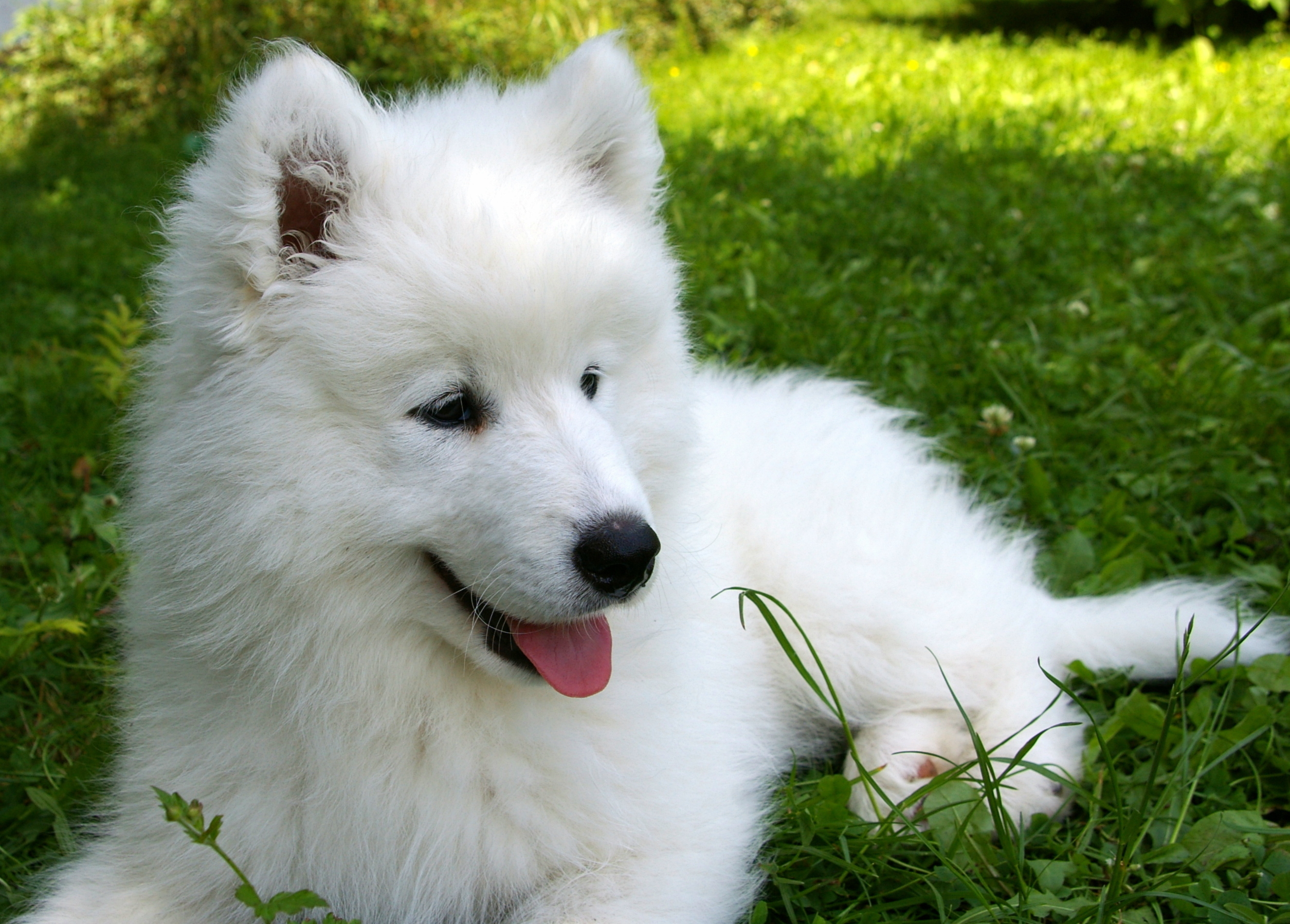81672 Screensavers and Wallpapers Puppy for phone. Download Animals, Grass, Puppy, Samoyed, Soyed pictures for free