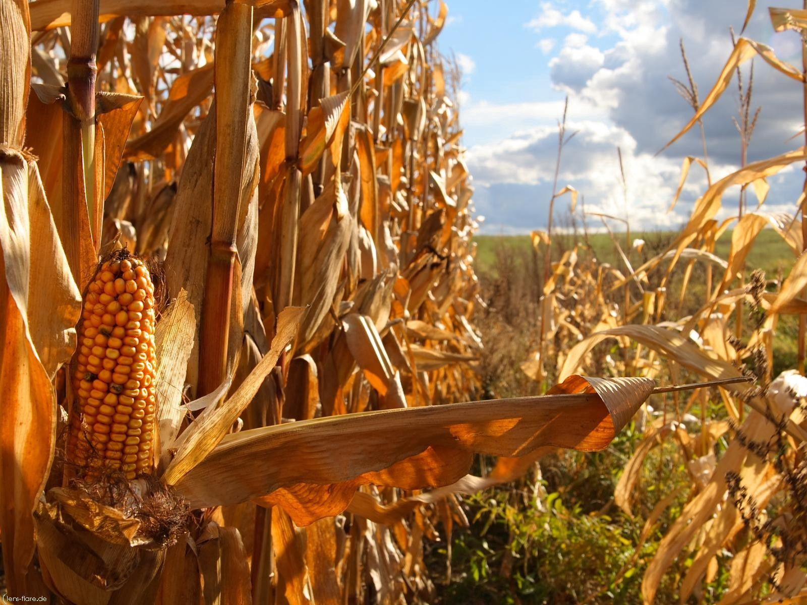 111461 Screensavers and Wallpapers Agriculture for phone. Download Nature, Field, Tops, Corn, Agriculture, Maize, Cobs, Halm pictures for free