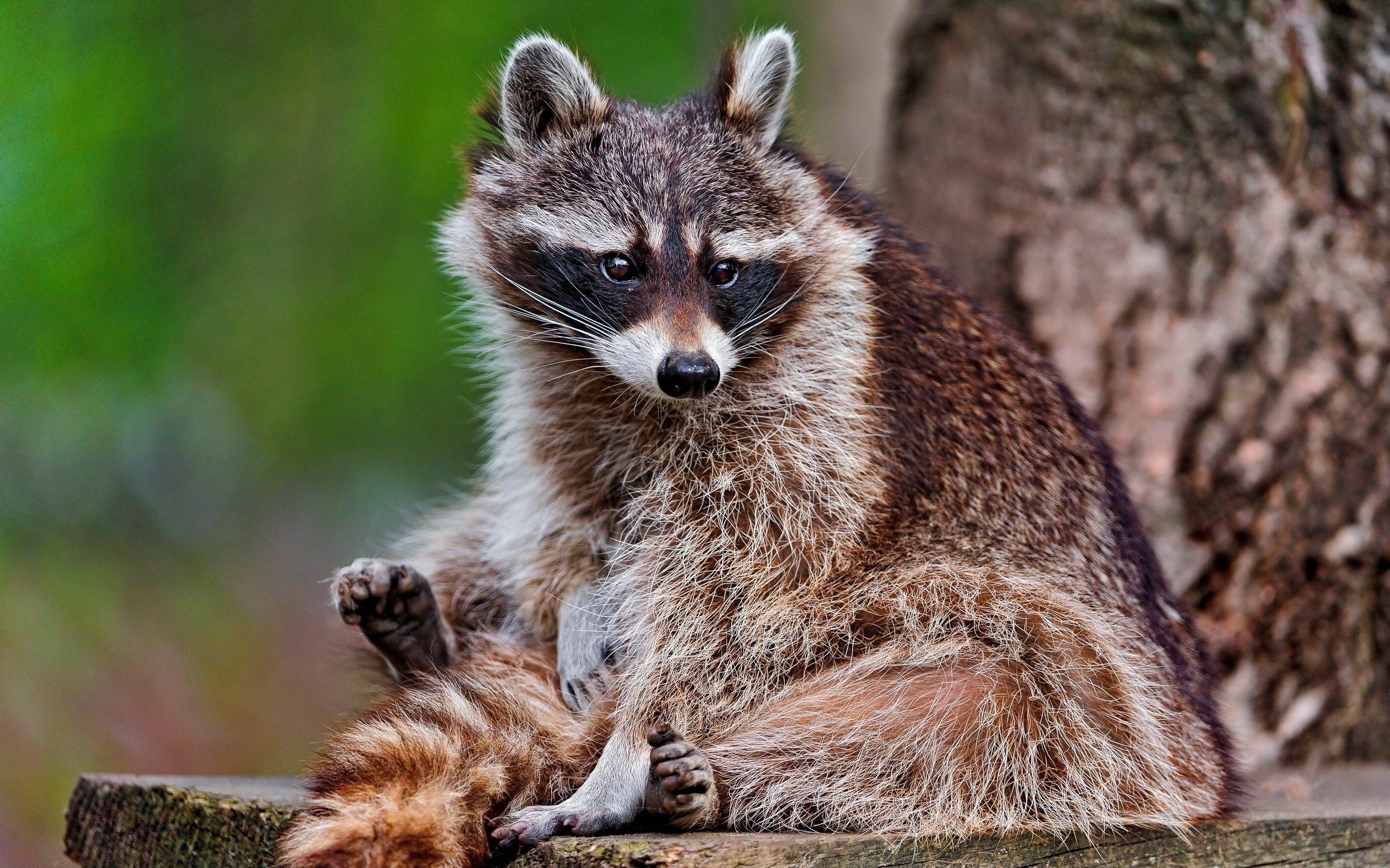 157671 Screensavers and Wallpapers Raccoon for phone. Download Animals, Wood, Tree, Striped, Beast, Raccoon pictures for free