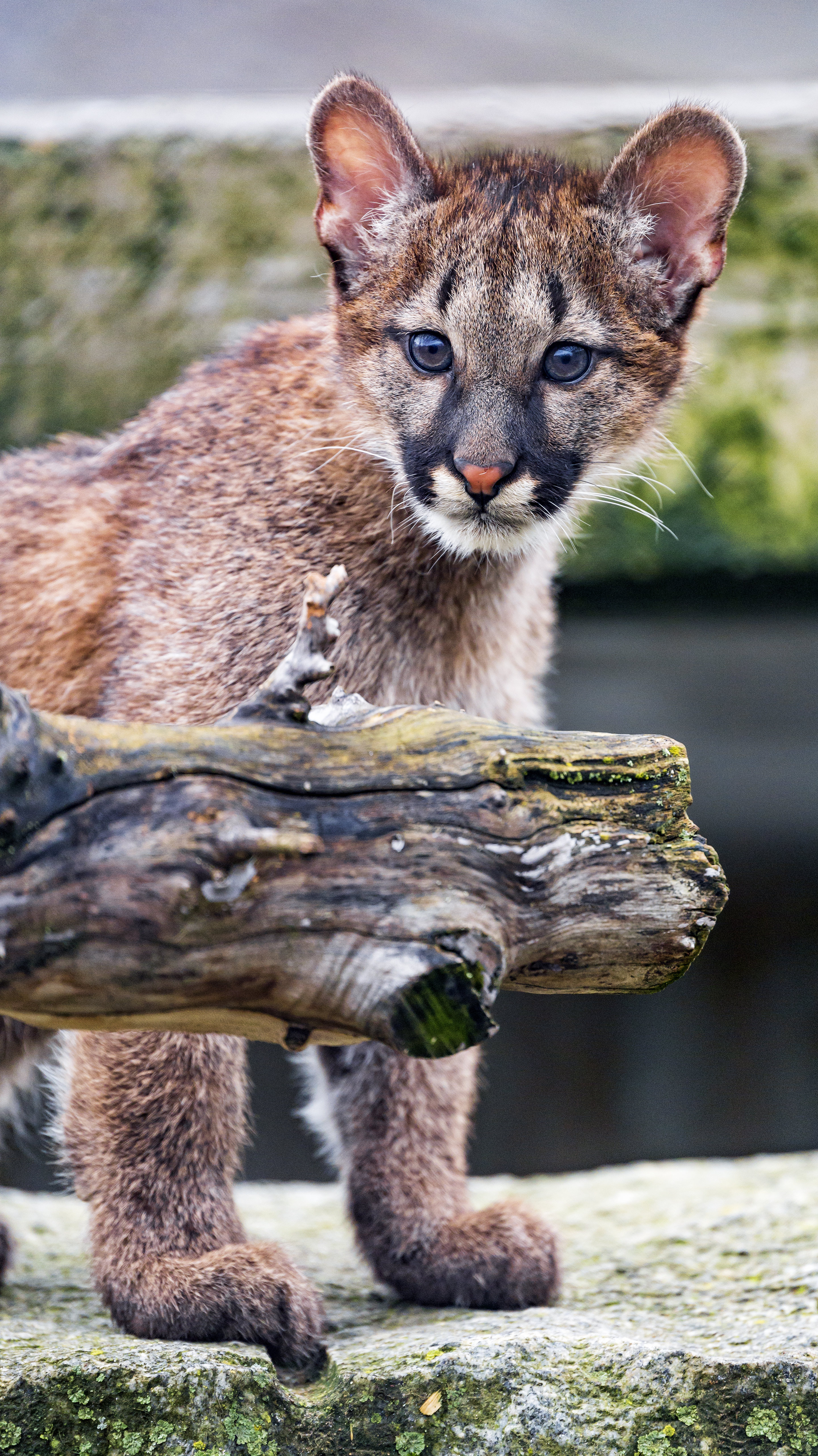 72040 download wallpaper Animals, Puma, Young, Joey, Nice, Sweetheart, Sight, Opinion screensavers and pictures for free