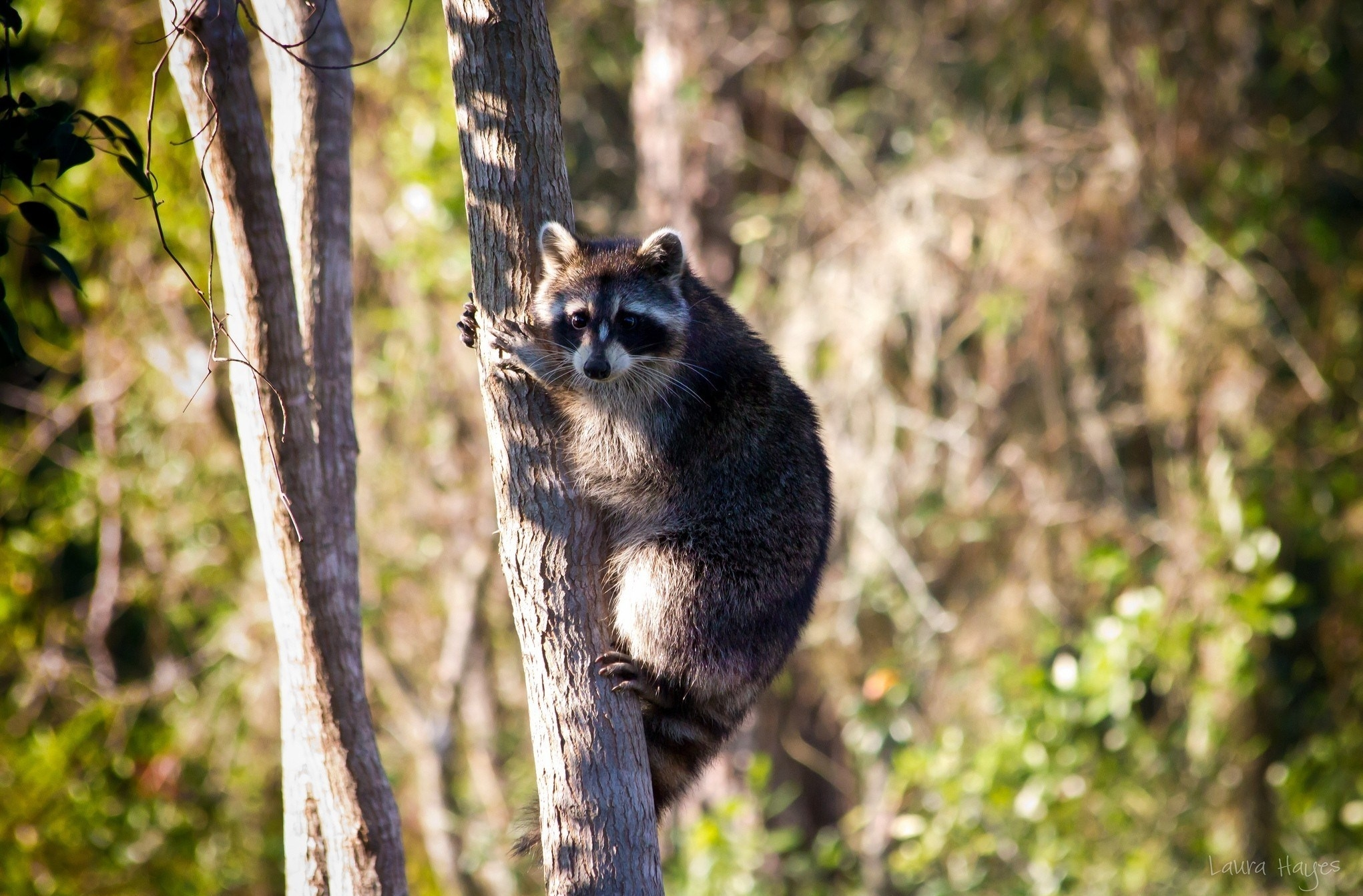 121581 Screensavers and Wallpapers Sit for phone. Download Animals, Grass, Wood, Sit, Tree, Raccoon pictures for free