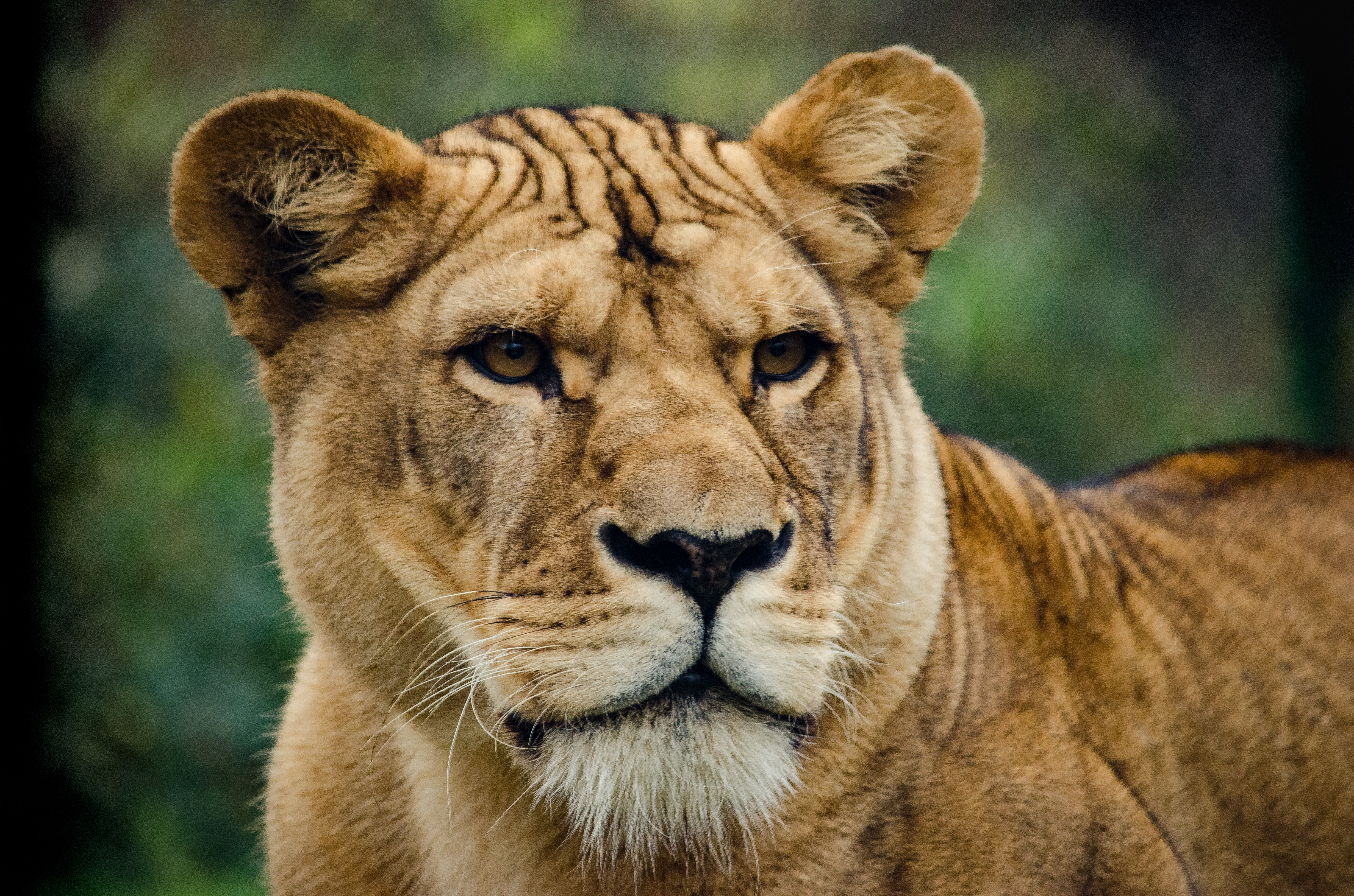99463 Screensavers and Wallpapers Lion for phone. Download Lion, Animals, Predator, Sight, Opinion, Lioness pictures for free