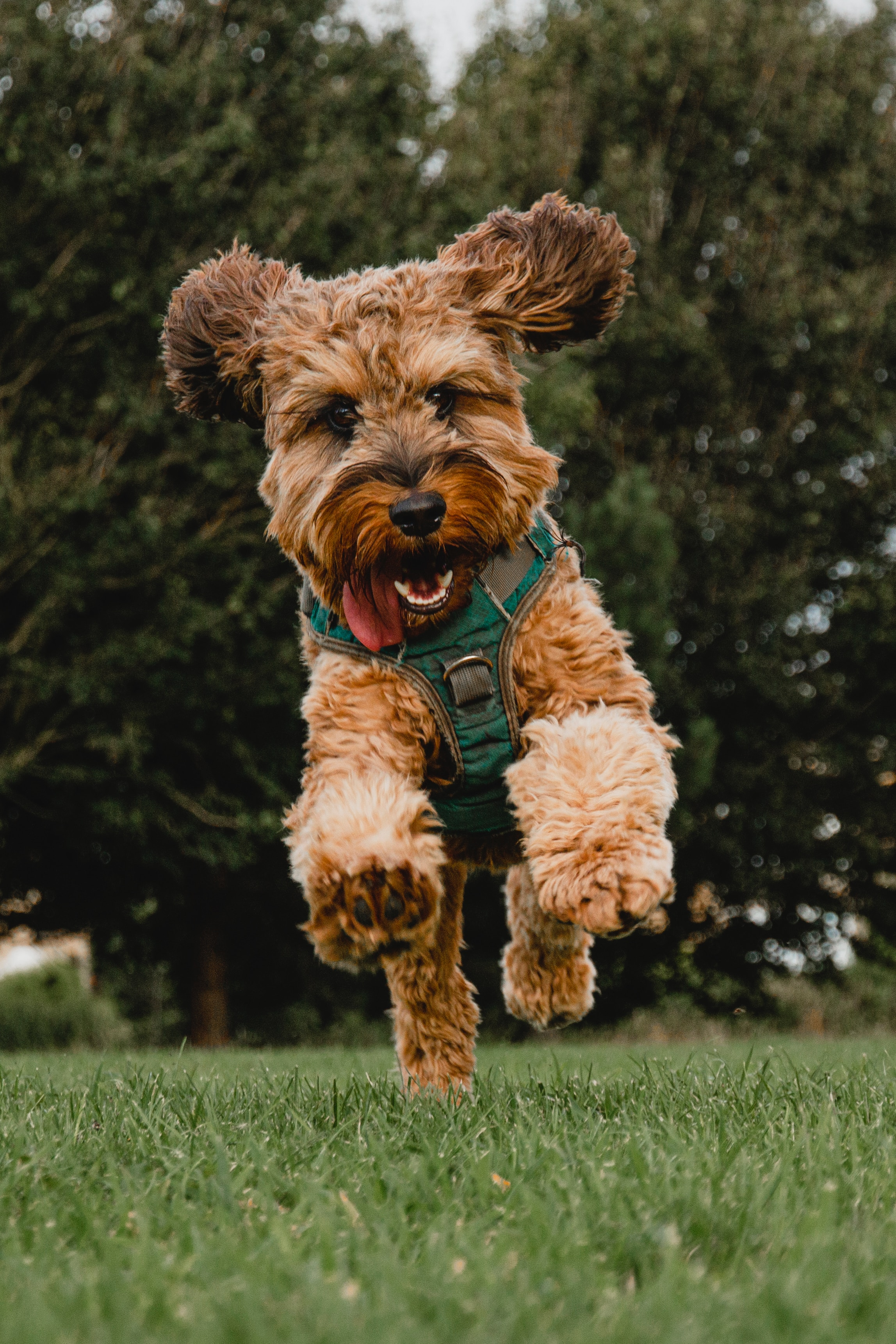 131020 Screensavers and Wallpapers Pet for phone. Download Animals, Dog, Bounce, Jump, Protruding Tongue, Tongue Stuck Out, Playful, Pet pictures for free