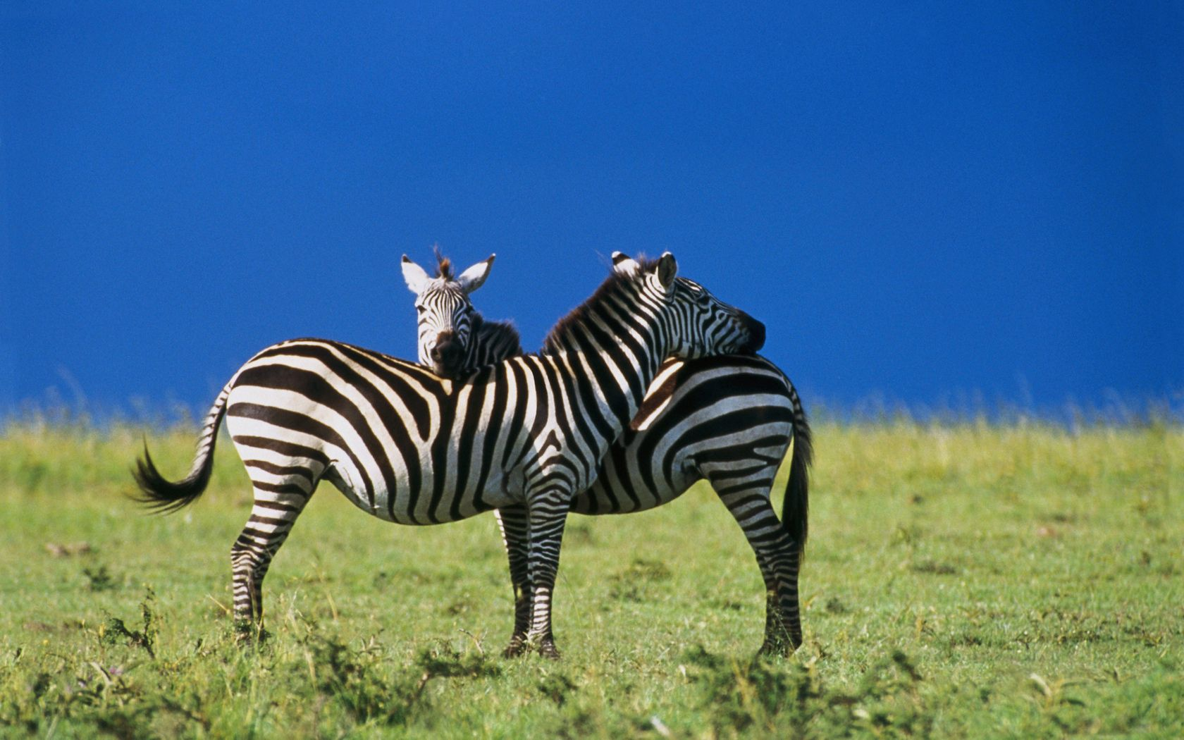 113936 download wallpaper Animals, Two, Sky, Zebra screensavers and pictures for free