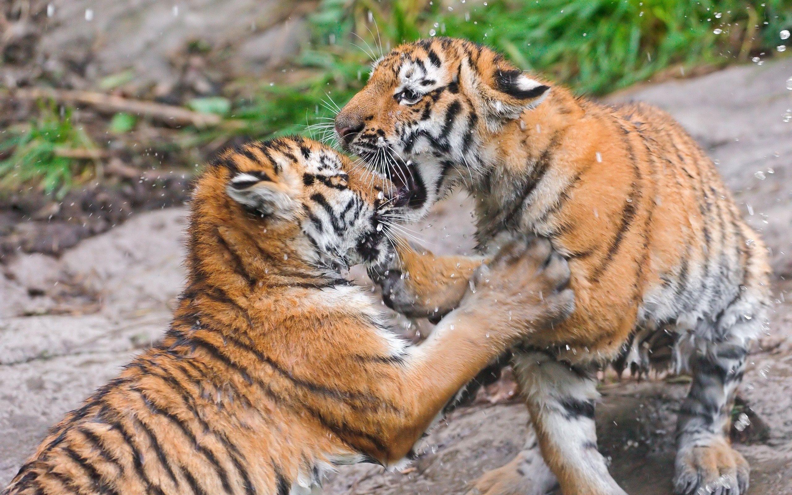 137390壁紙のダウンロード動物, カップル, 双, 戦い, 戦う, 阪神タイガース-スクリーンセーバーと写真を無料で