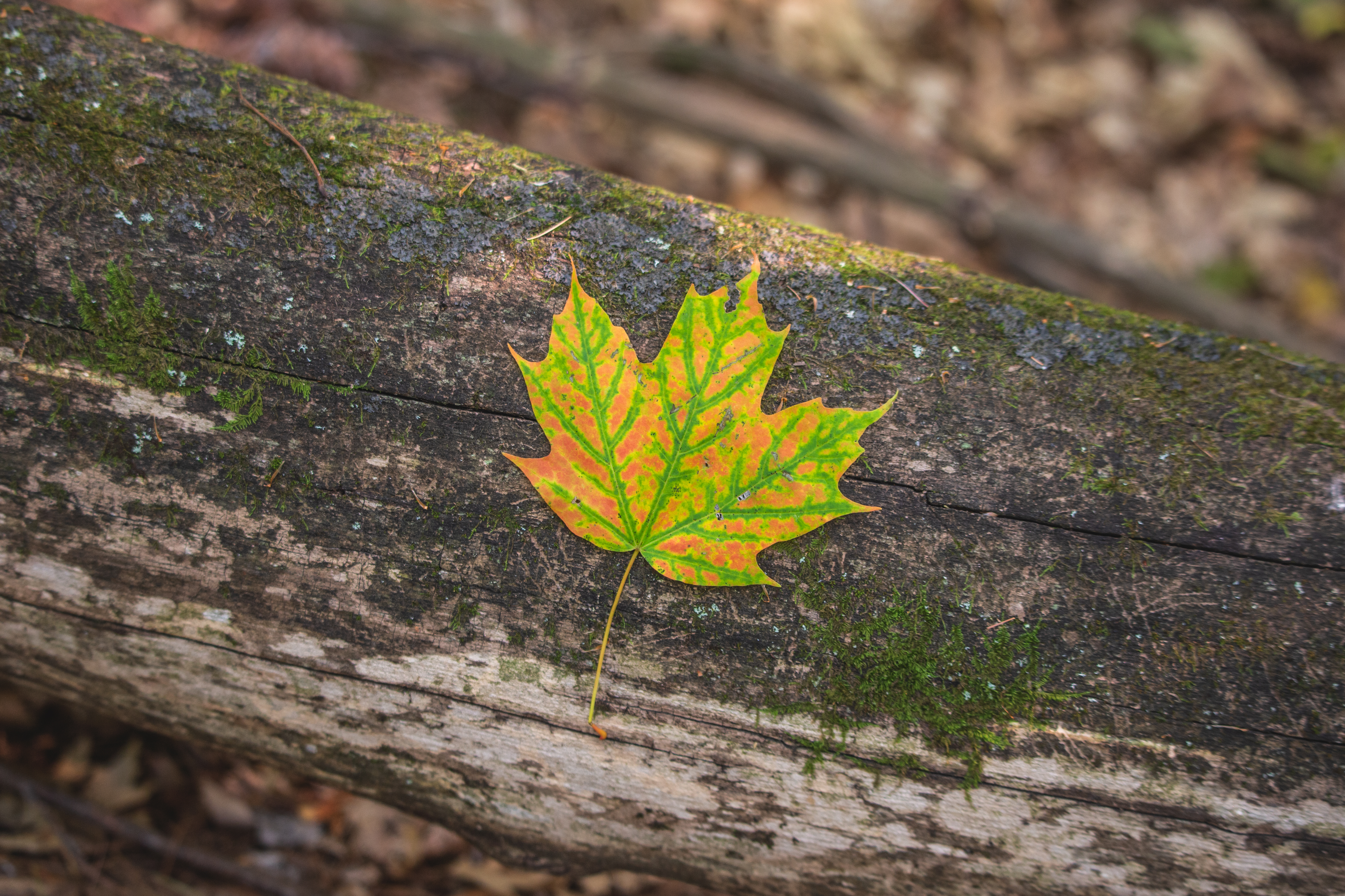 120050 download wallpaper Macro, Maple, Sheet, Leaf, Autumn, Bark screensavers and pictures for free