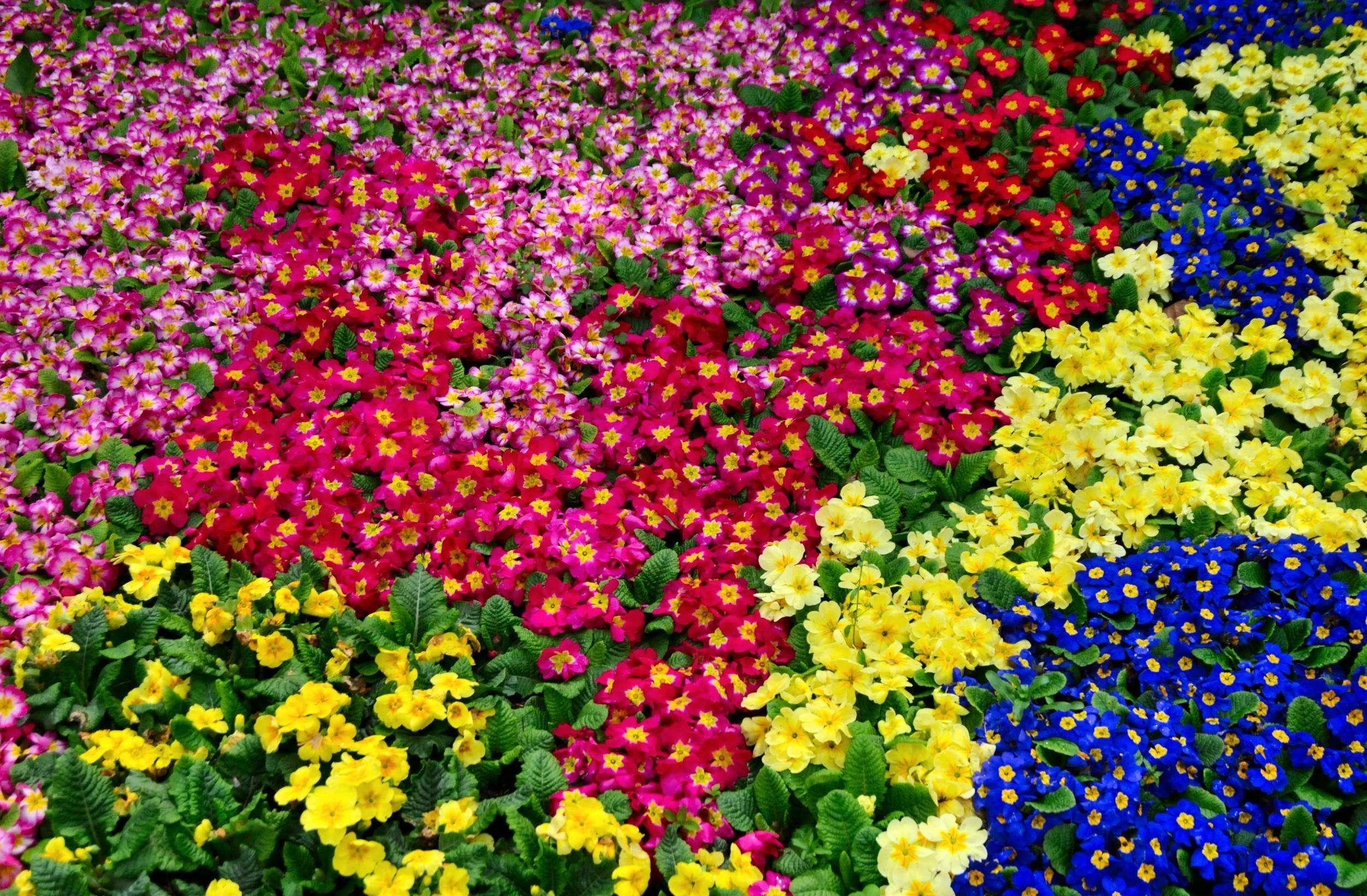 134390 скачать обои Цветы, Яркие, Много, Примула, Красочные - заставки и картинки бесплатно