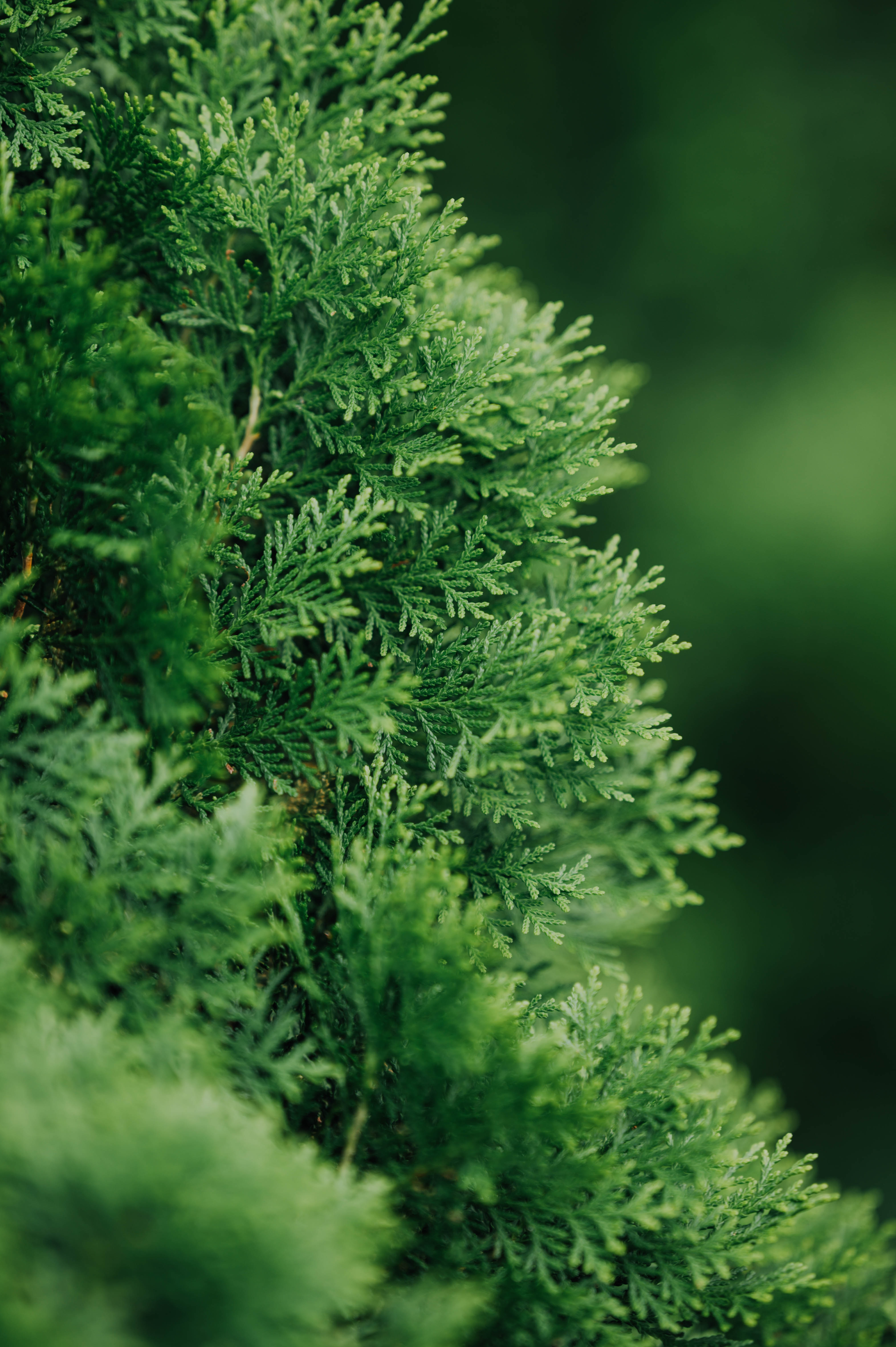 104129 скачать обои Растение, Макро, Зеленый, Хвоя, Туя - заставки и картинки бесплатно
