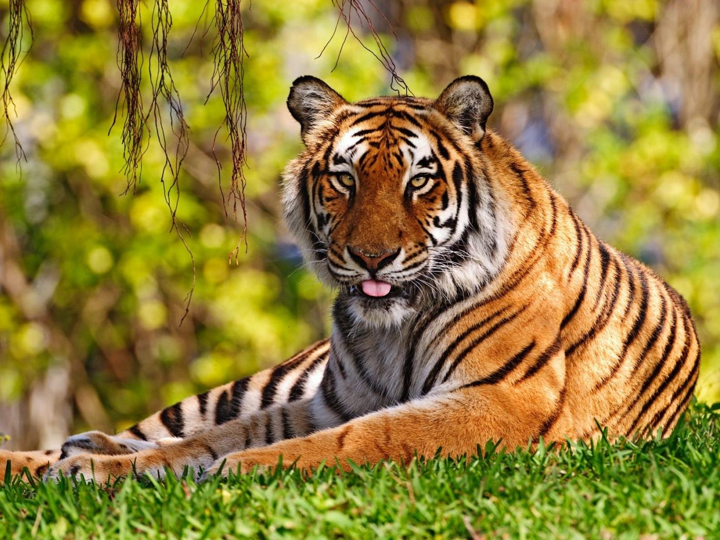 32827 скачать обои Тигры, Животные - заставки и картинки бесплатно