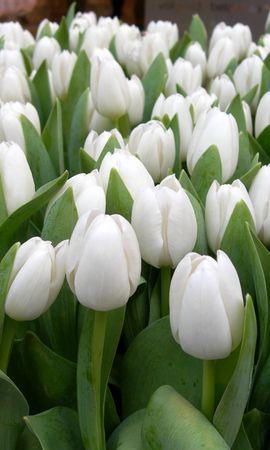 119656 скачать Белые обои на телефон бесплатно, Цветы, Весна, Красота, Зелень, Тюльпаны Белые картинки и заставки на мобильный