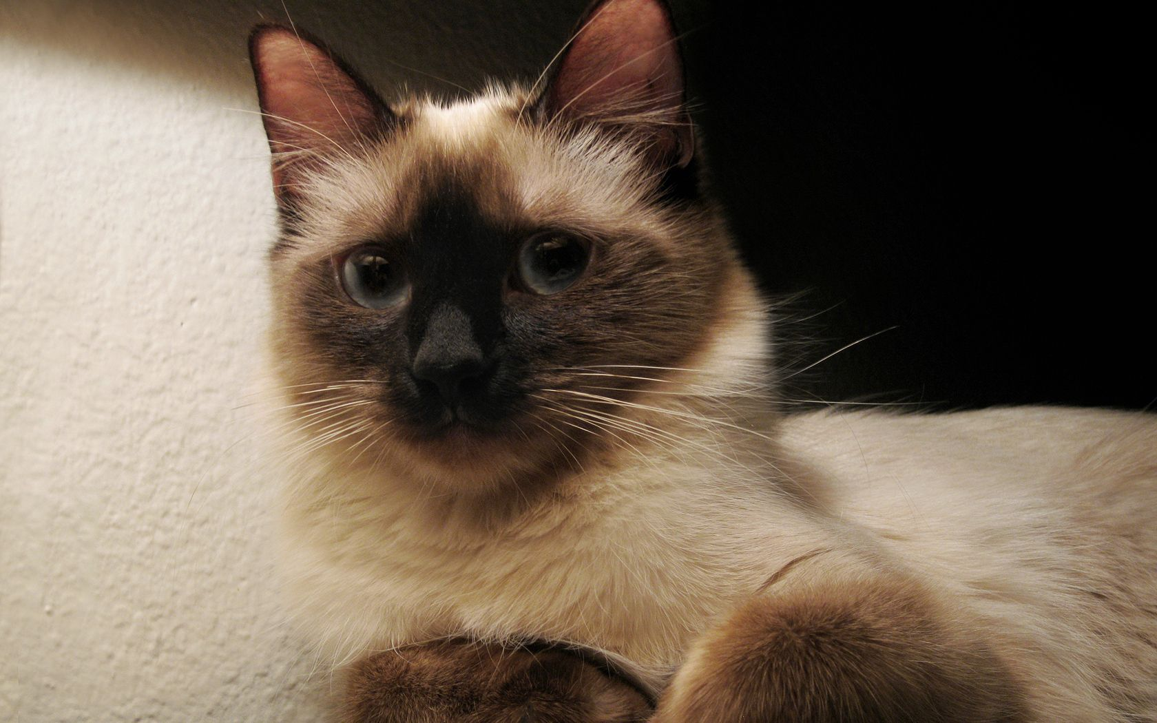 75599 download wallpaper Animals, Cat, Kitty, Kitten, Siamese, Spotted, Spotty, Grey screensavers and pictures for free