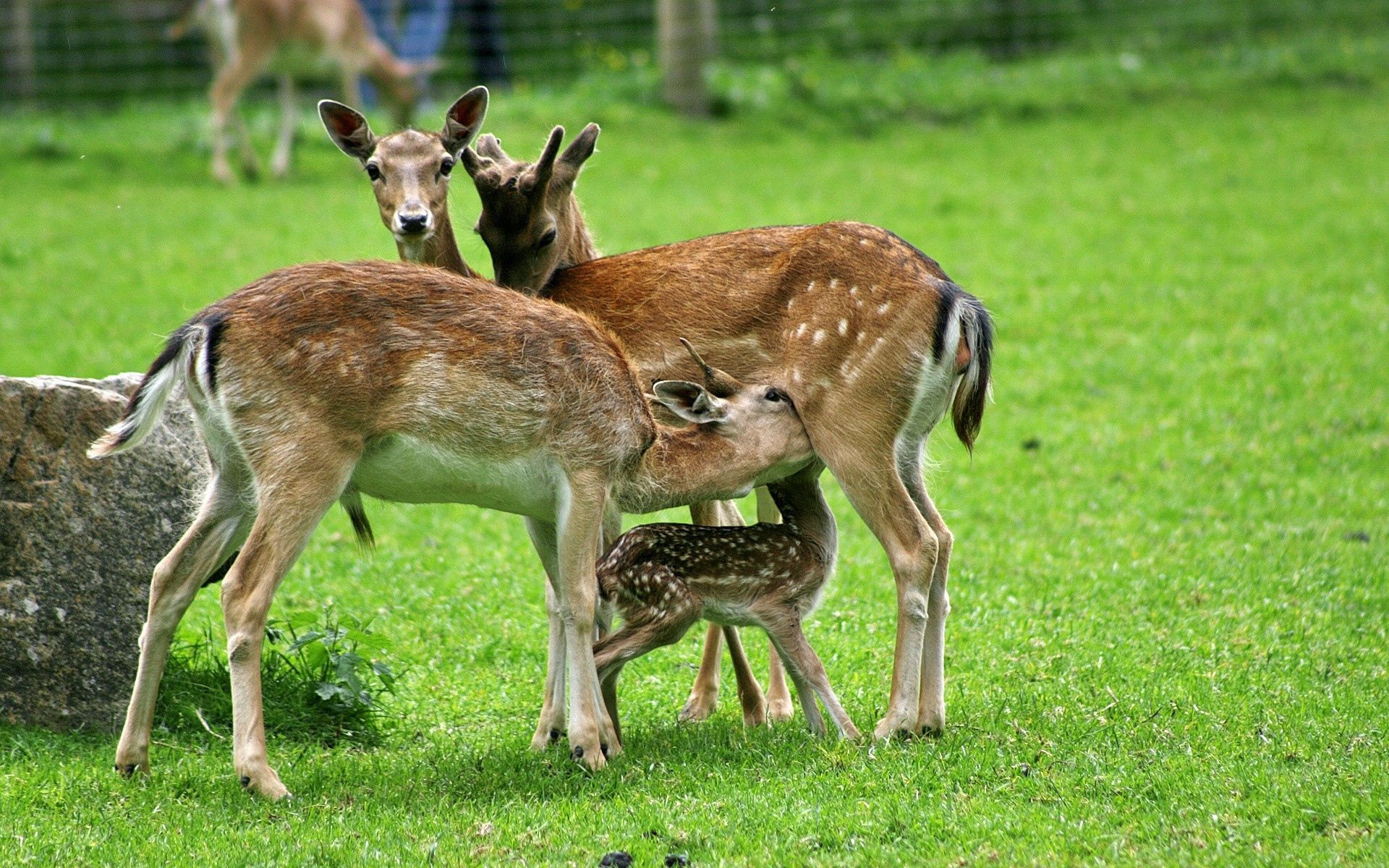 77045 download wallpaper Animals, Deers, Family, Care, Grass, Field, Food screensavers and pictures for free