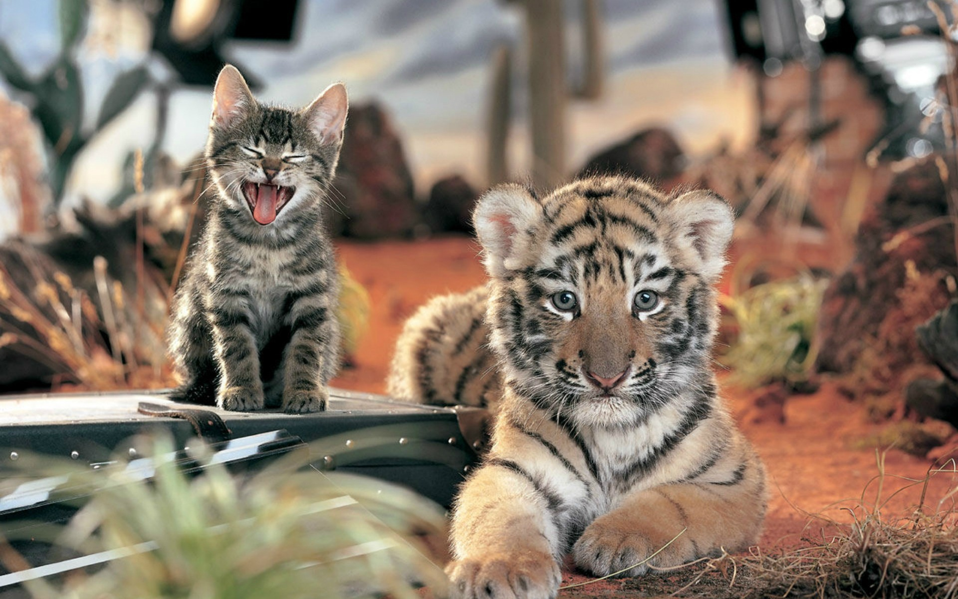 31960 descargar fondo de pantalla Animales, Tigres: protectores de pantalla e imágenes gratis
