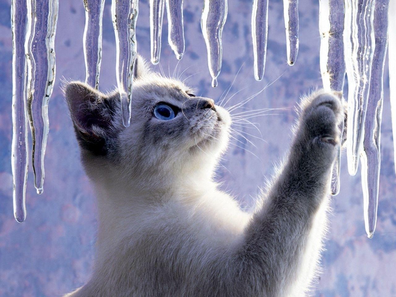 2513 скачать обои Кошки (Коты, Котики), Животные, Лед - заставки и картинки бесплатно