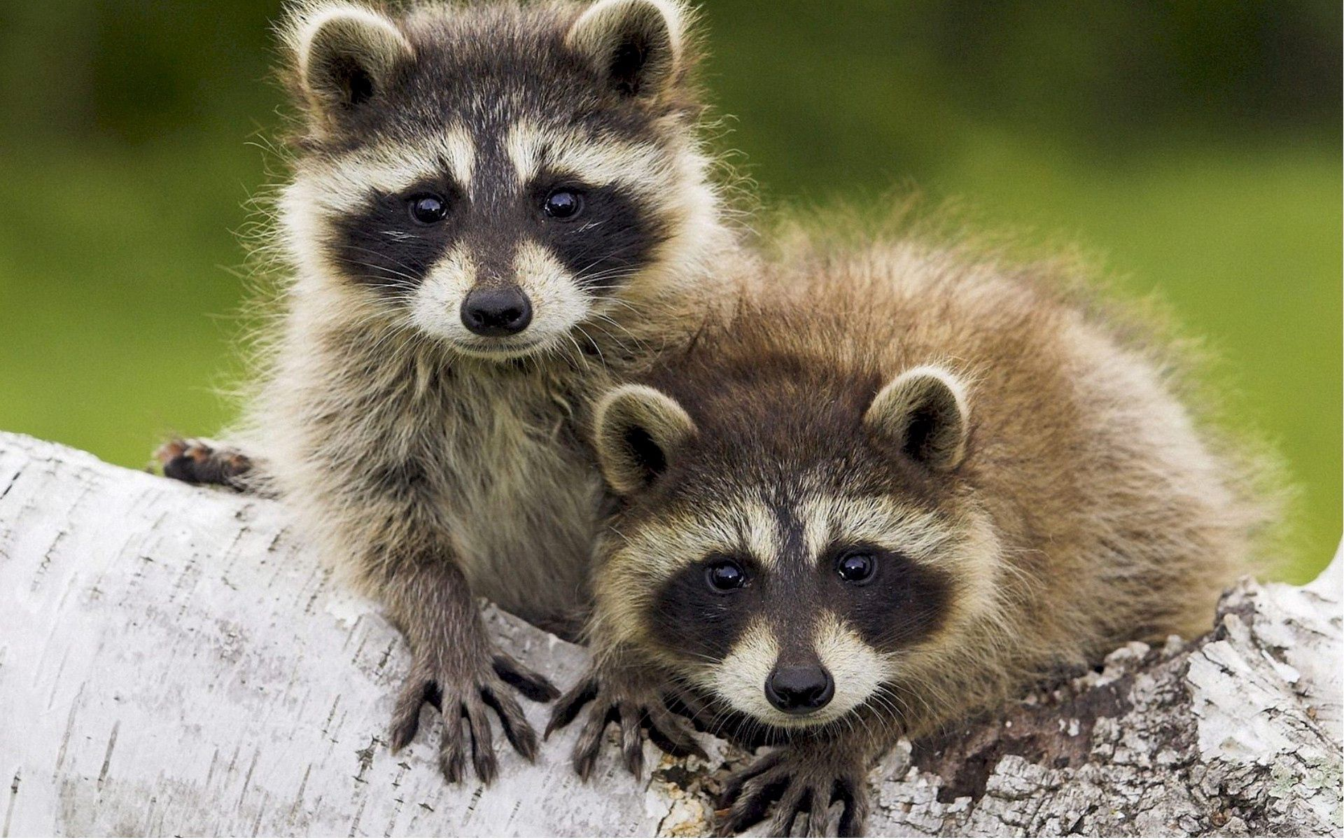 106774 download wallpaper Animals, Raccoons, Couple, Pair, Stroll, Log screensavers and pictures for free