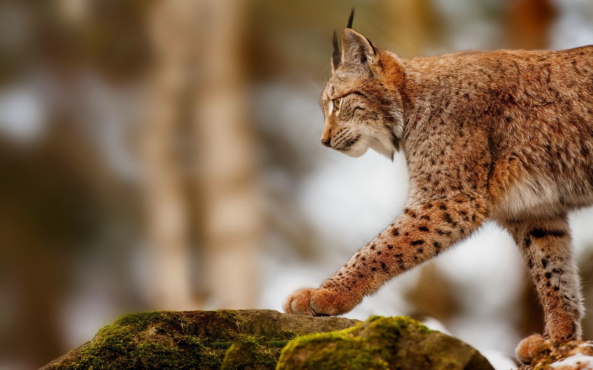 40162 download wallpaper Animals, Bobcats screensavers and pictures for free
