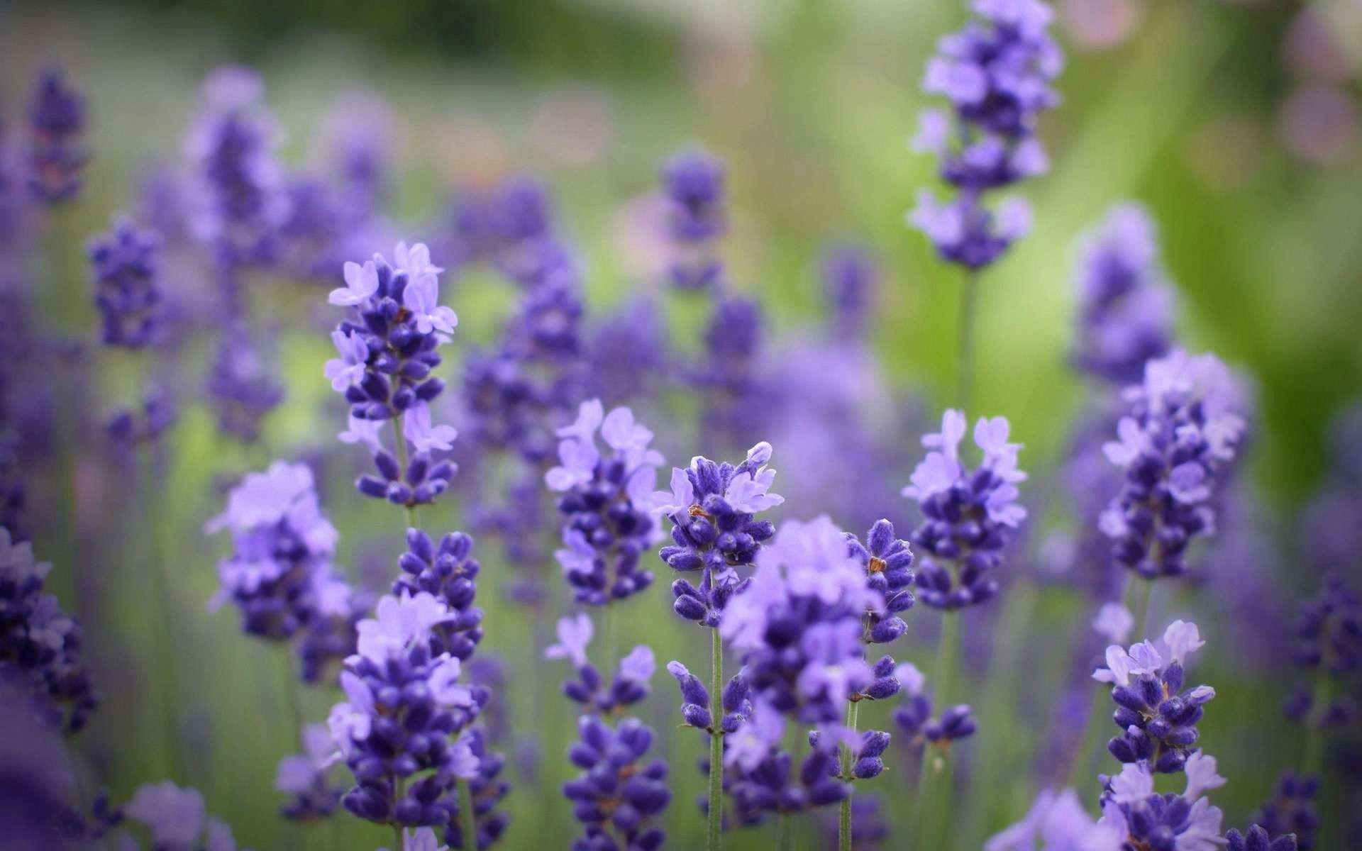 126917 Screensavers and Wallpapers Beautiful for phone. Download Flowers, Lilac, Plant, Macro, Beautiful pictures for free