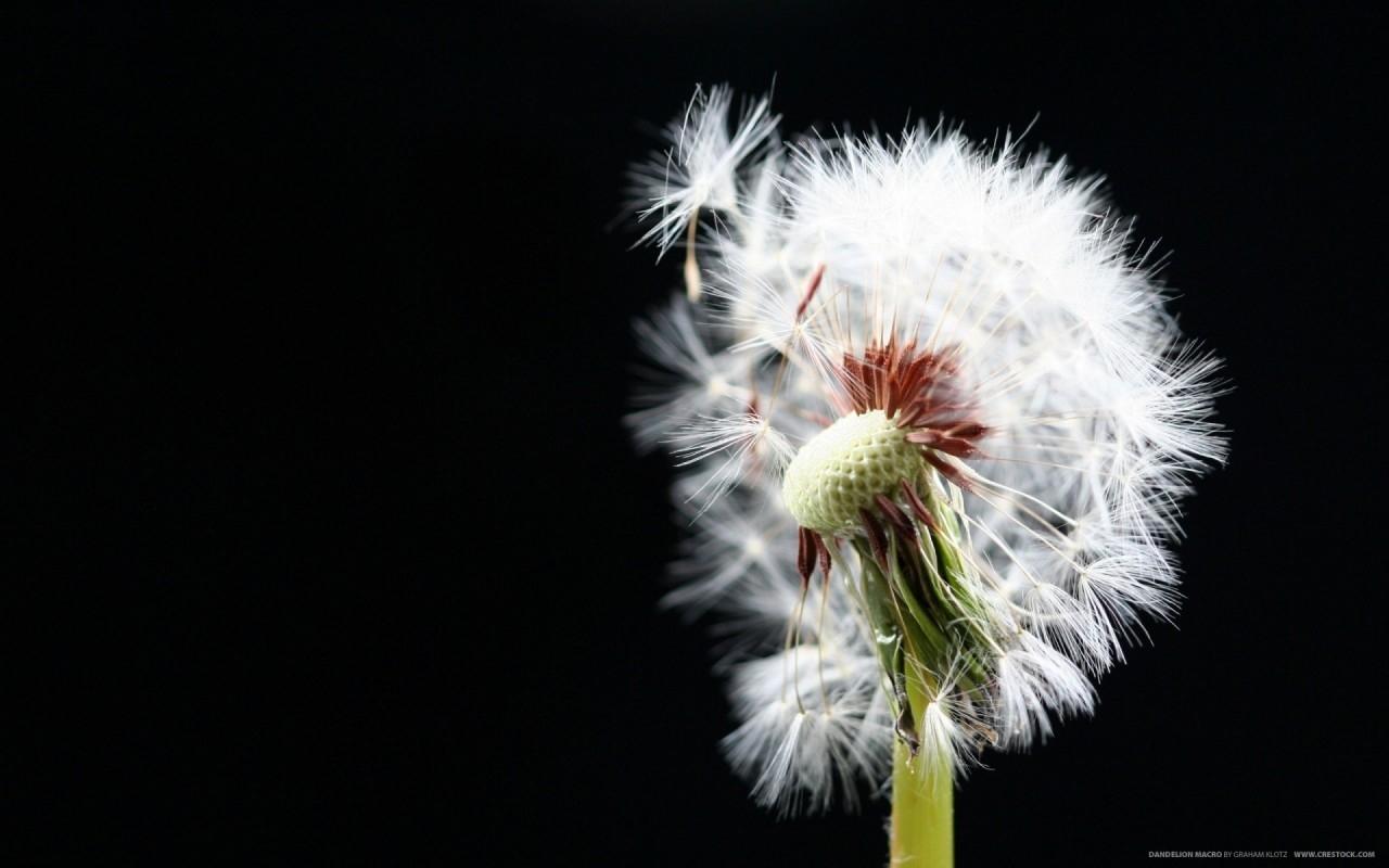 7801 скачать обои Растения, Цветы, Одуванчики - заставки и картинки бесплатно