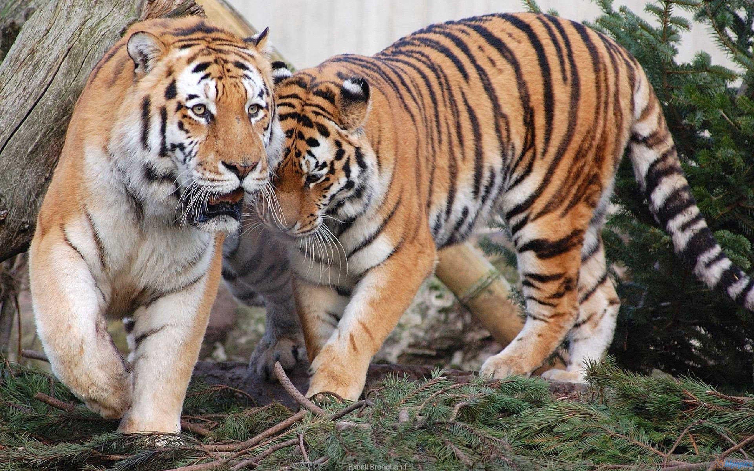 145027 Hintergrundbild herunterladen Tiere, Tigers, Paar, Raubtiere - Bildschirmschoner und Bilder kostenlos