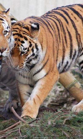 145027壁紙のダウンロード動物, カップル, 双, 捕食者, 捕食 者, 阪神タイガース-スクリーンセーバーと写真を無料で