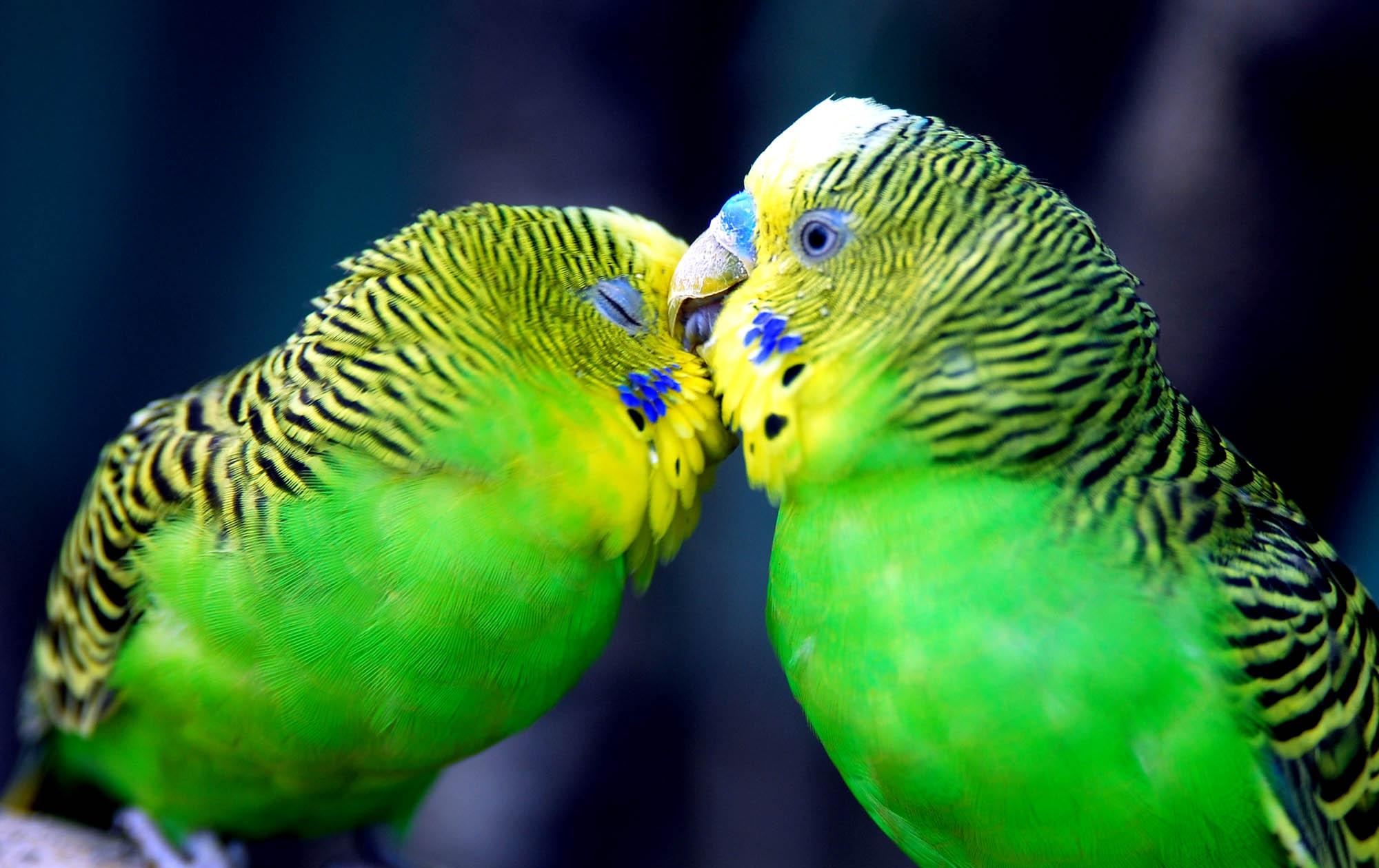 146875 Заставки и Обои Попугаи на телефон. Скачать Попугаи, Животные, Клюв, Пара, Полосатый, Голова картинки бесплатно