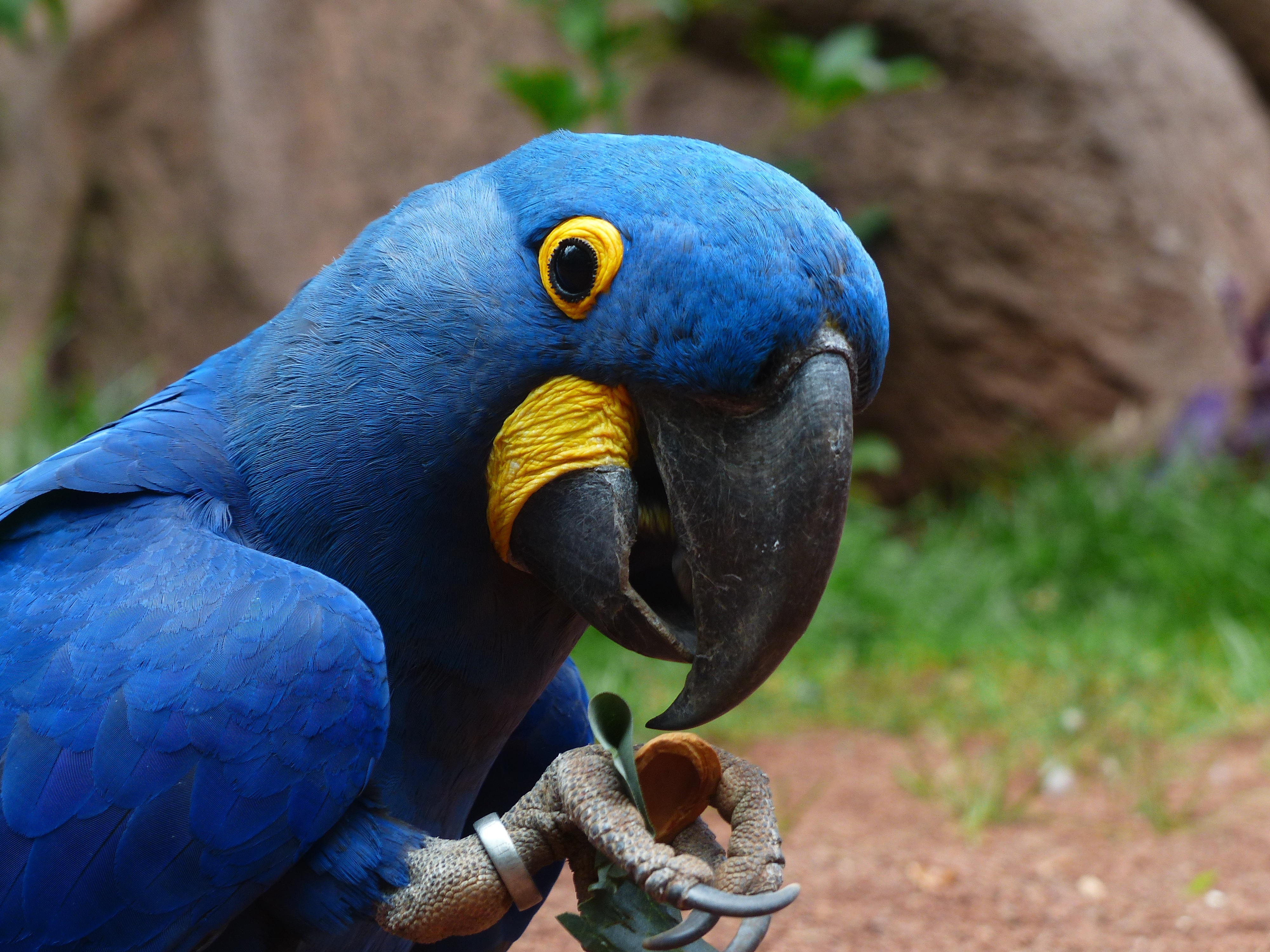 96911 download wallpaper Animals, Parrots, Macaw, Bird, Beak screensavers and pictures for free