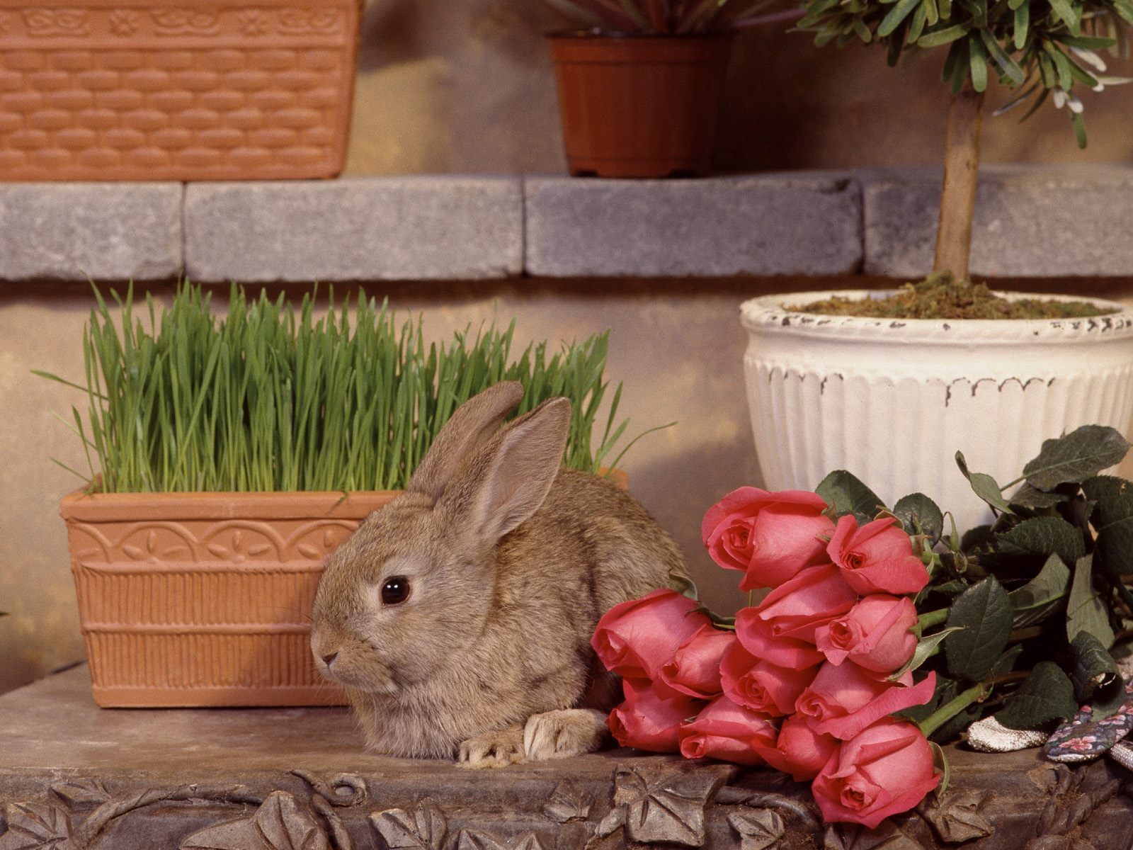 6686 download wallpaper Animals, Flowers, Roses, Rabbits screensavers and pictures for free