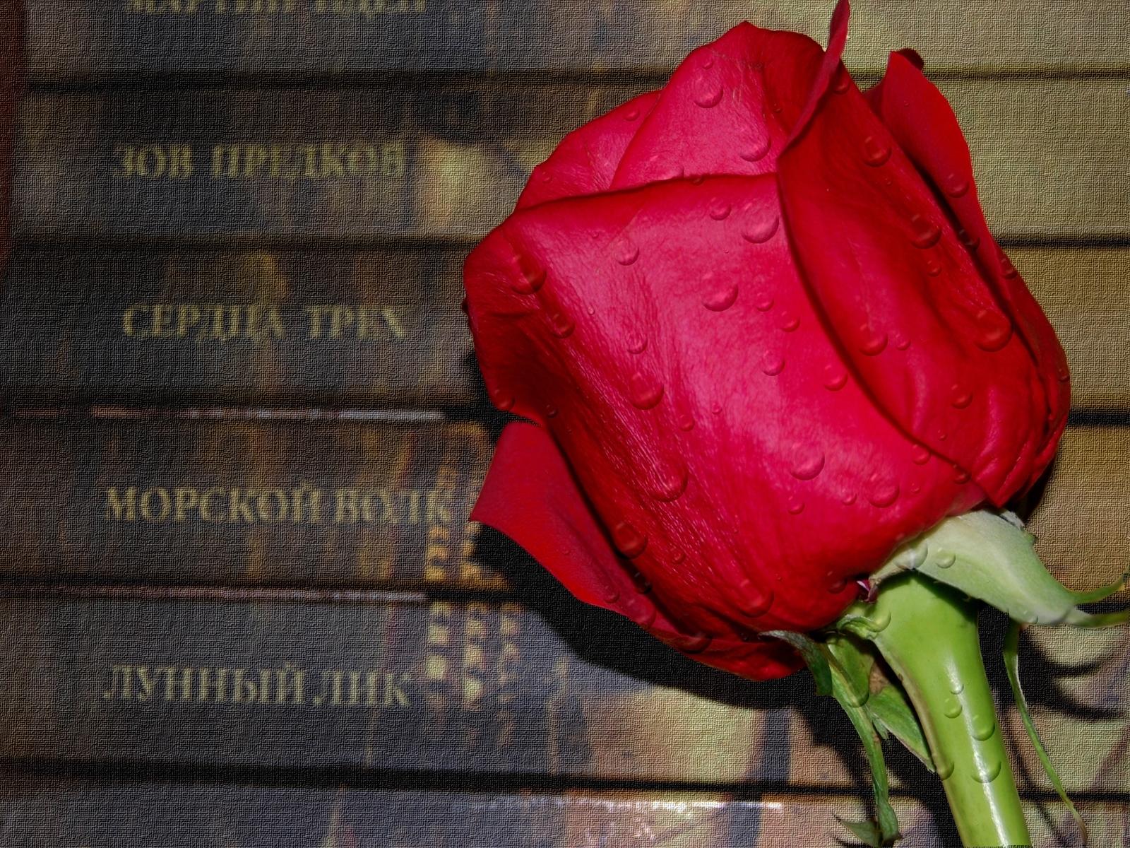 5265 скачать обои Растения, Цветы, Розы - заставки и картинки бесплатно
