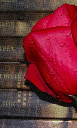 5265 télécharger le fond d'écran Plantes, Fleurs, Roses - économiseurs d'écran et images gratuitement