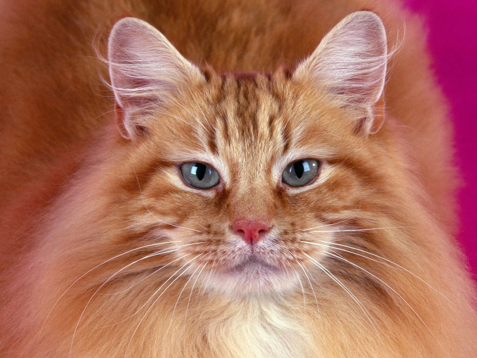 93915 Screensavers and Wallpapers Fluffy for phone. Download Animals, Cat, Fluffy, Muzzle pictures for free