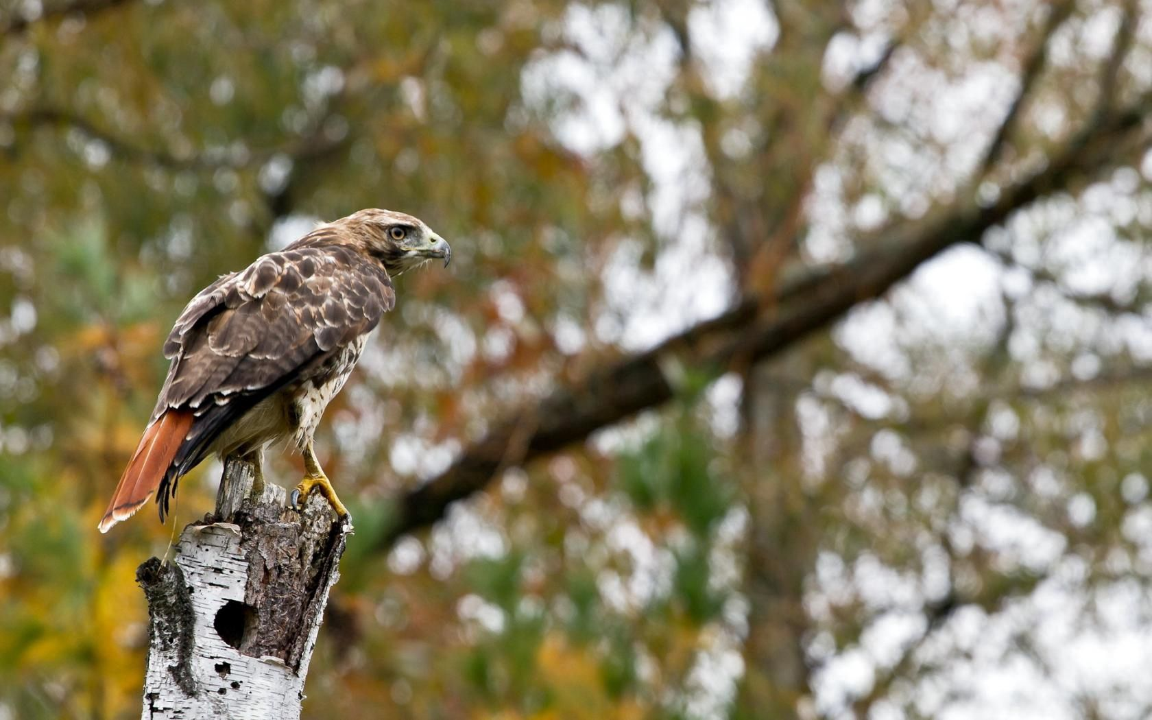 125560 download wallpaper Animals, Bird, Eagle, Wood, Tree, Blur, Smooth, Wings, Sit, Predator screensavers and pictures for free