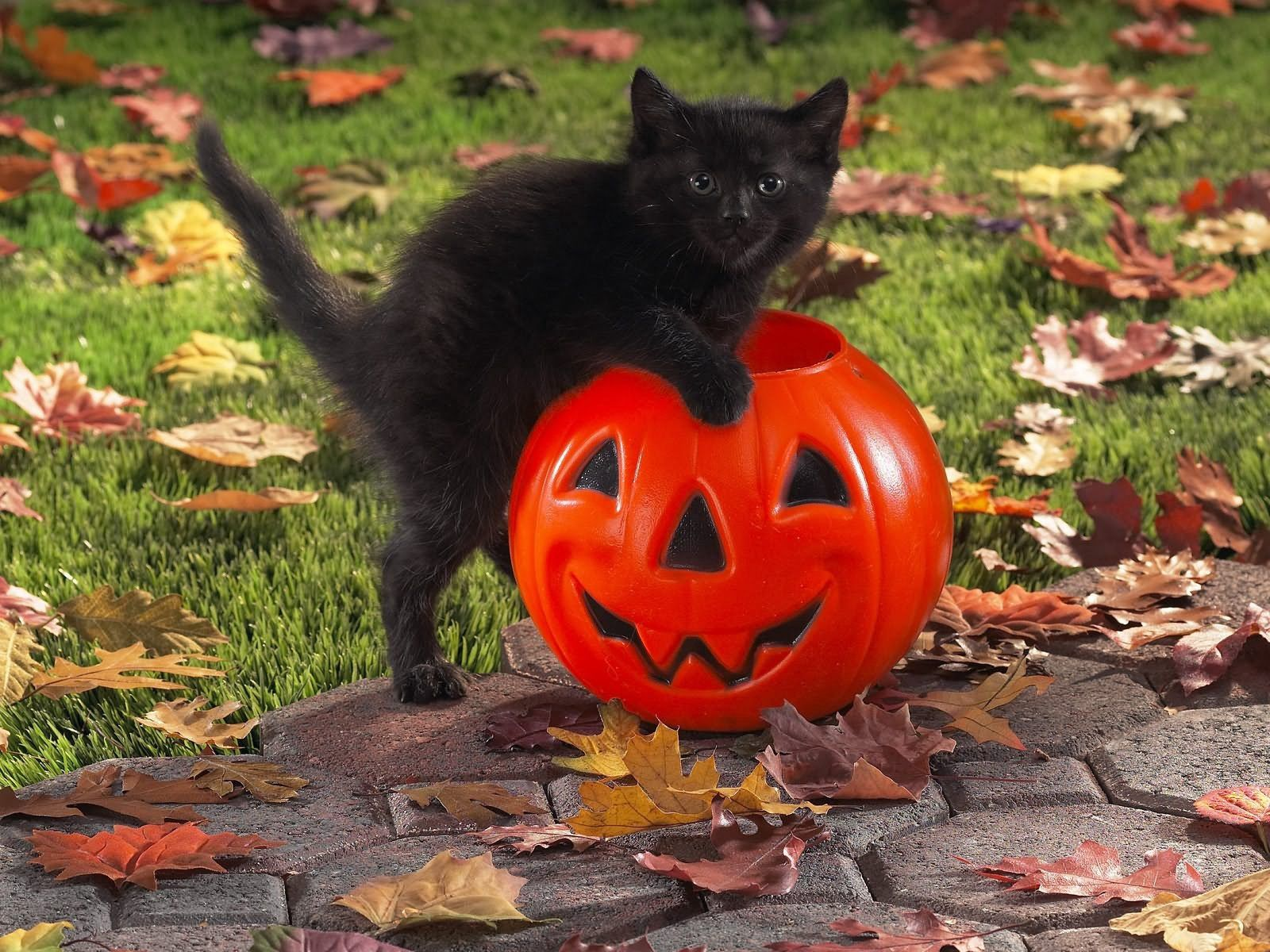 76465 Screensavers and Wallpapers Pumpkin for phone. Download Animals, Pumpkin, Kitty, Kitten, Toy, Kid, Tot pictures for free