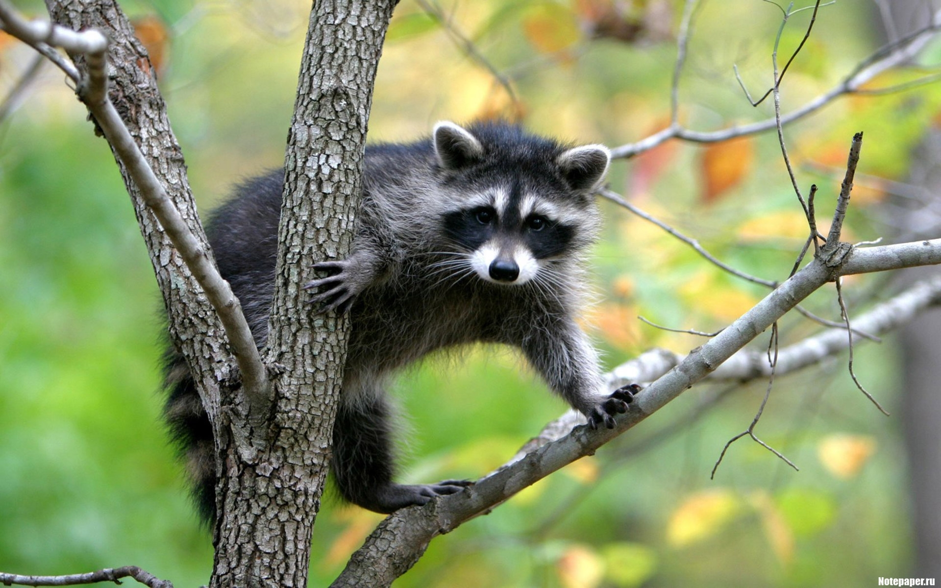 1779 download wallpaper Animals, Rodents, Raccoons screensavers and pictures for free