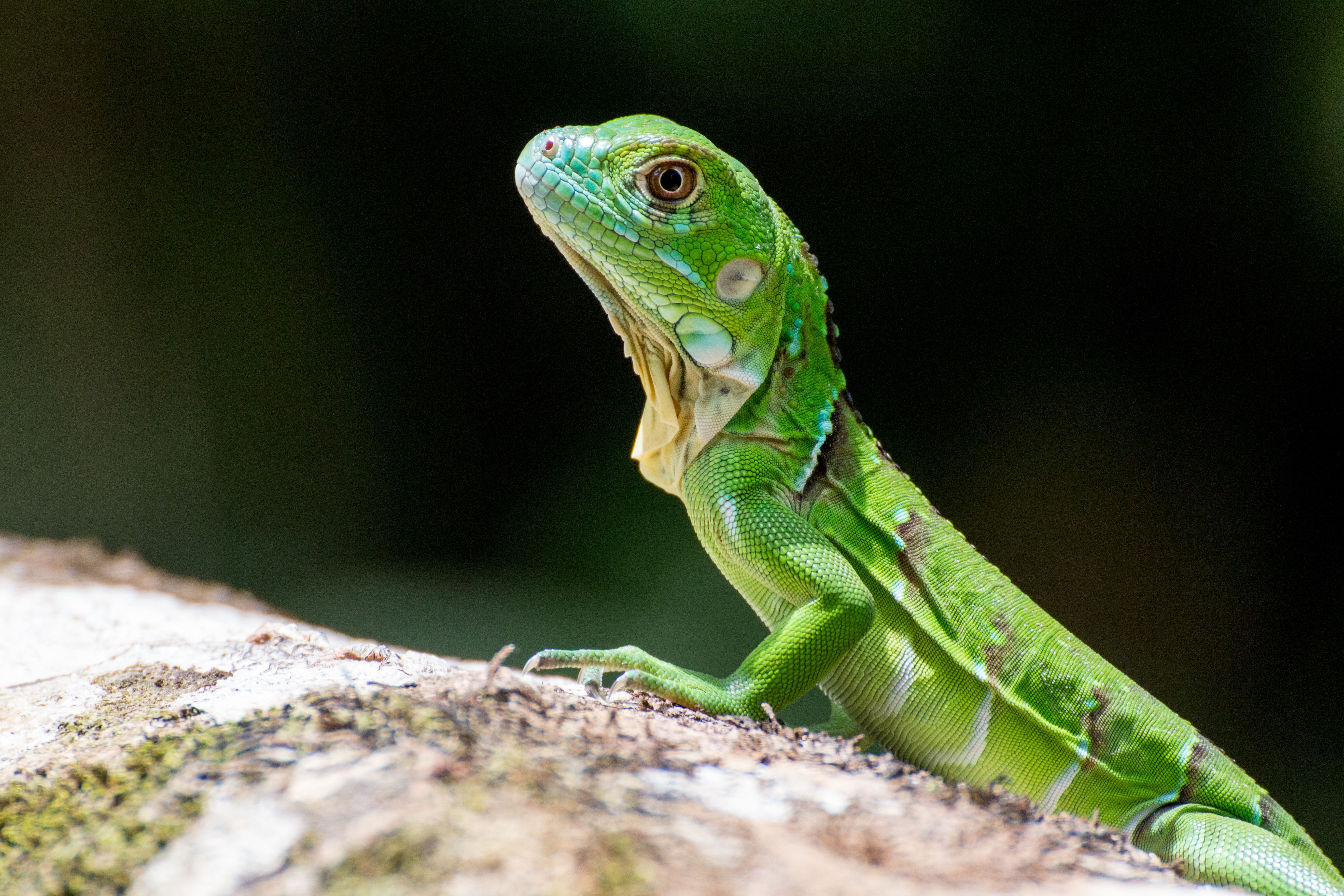 62359 скачать обои Животные, Ящерица, Чешуя, Рептилия, Зеленый, Профиль - заставки и картинки бесплатно