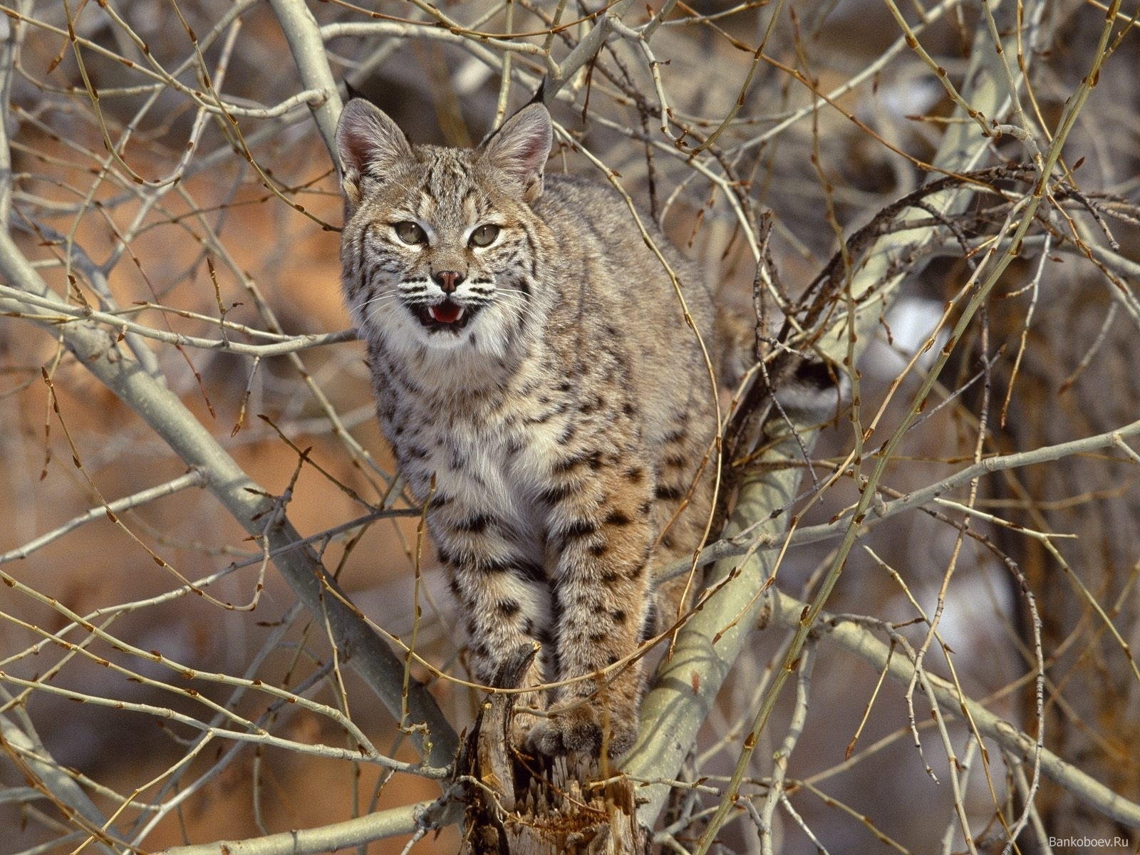 5873 download wallpaper Animals, Bobcats screensavers and pictures for free