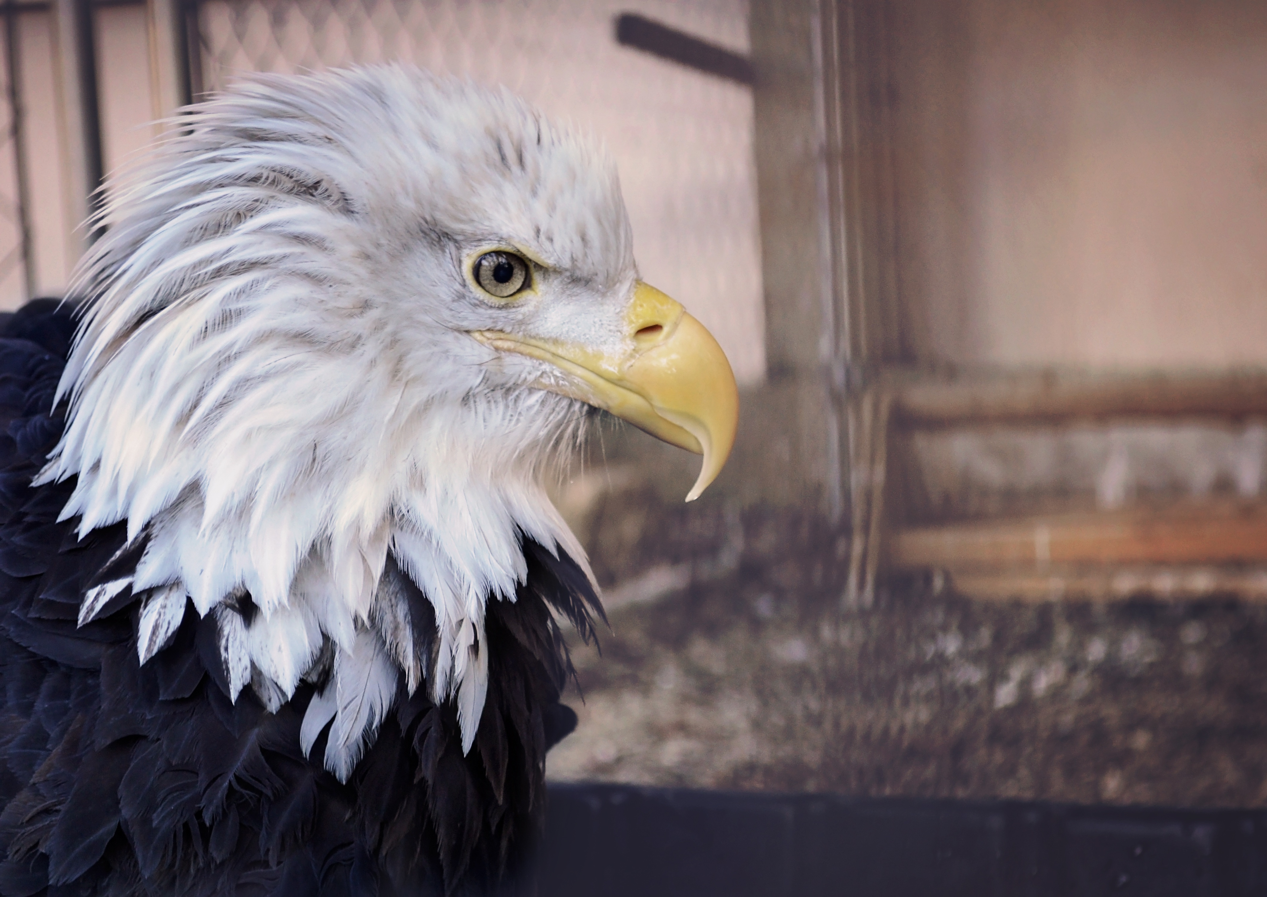 120809 download wallpaper Animals, Bald Eagle, White-Headed Eagle, Eagle, Bird, Predator, Beak screensavers and pictures for free