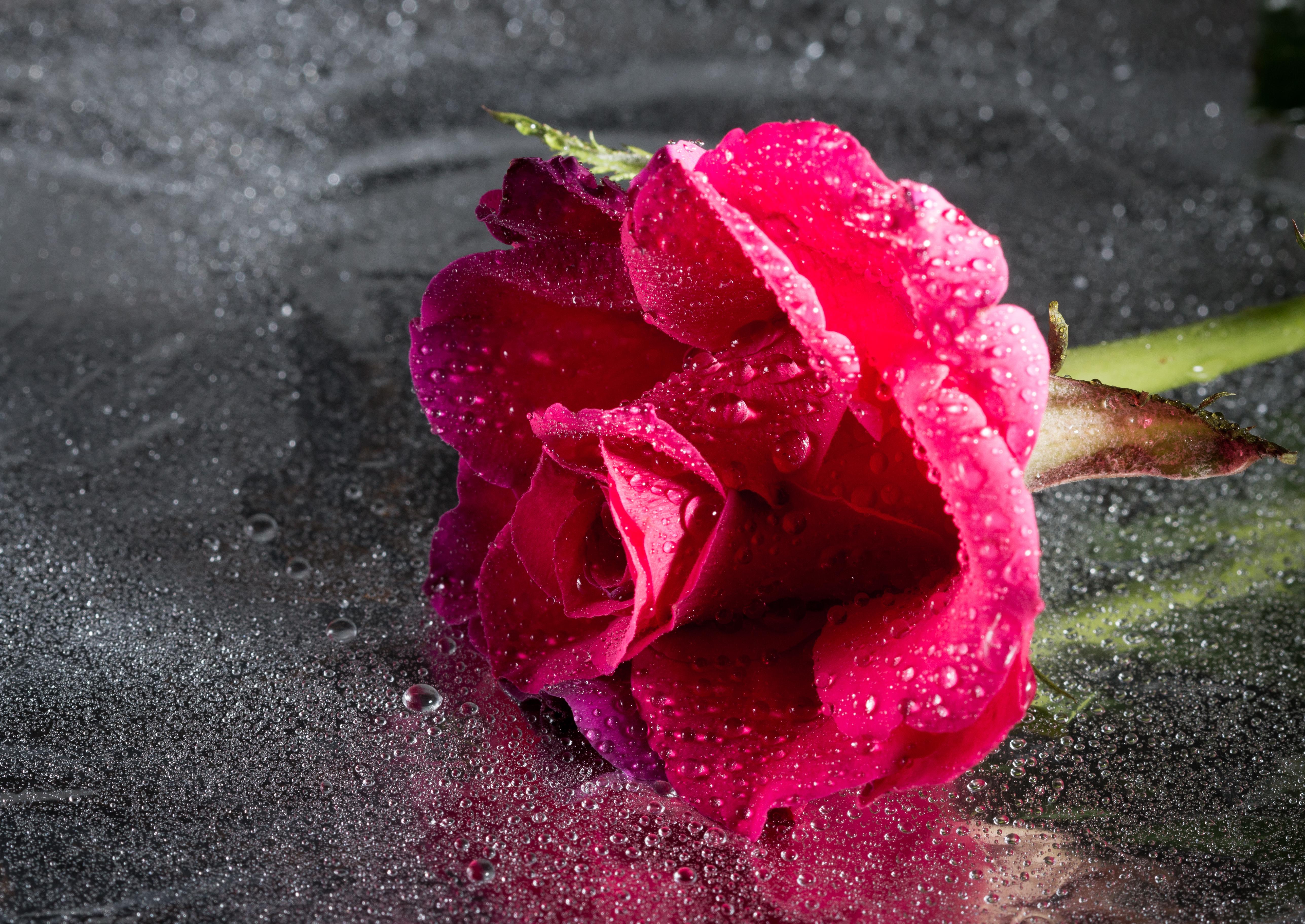 123781 скачать обои Цветок, Крупным Планом, Капли, Роза, Цветы, Розовый - заставки и картинки бесплатно