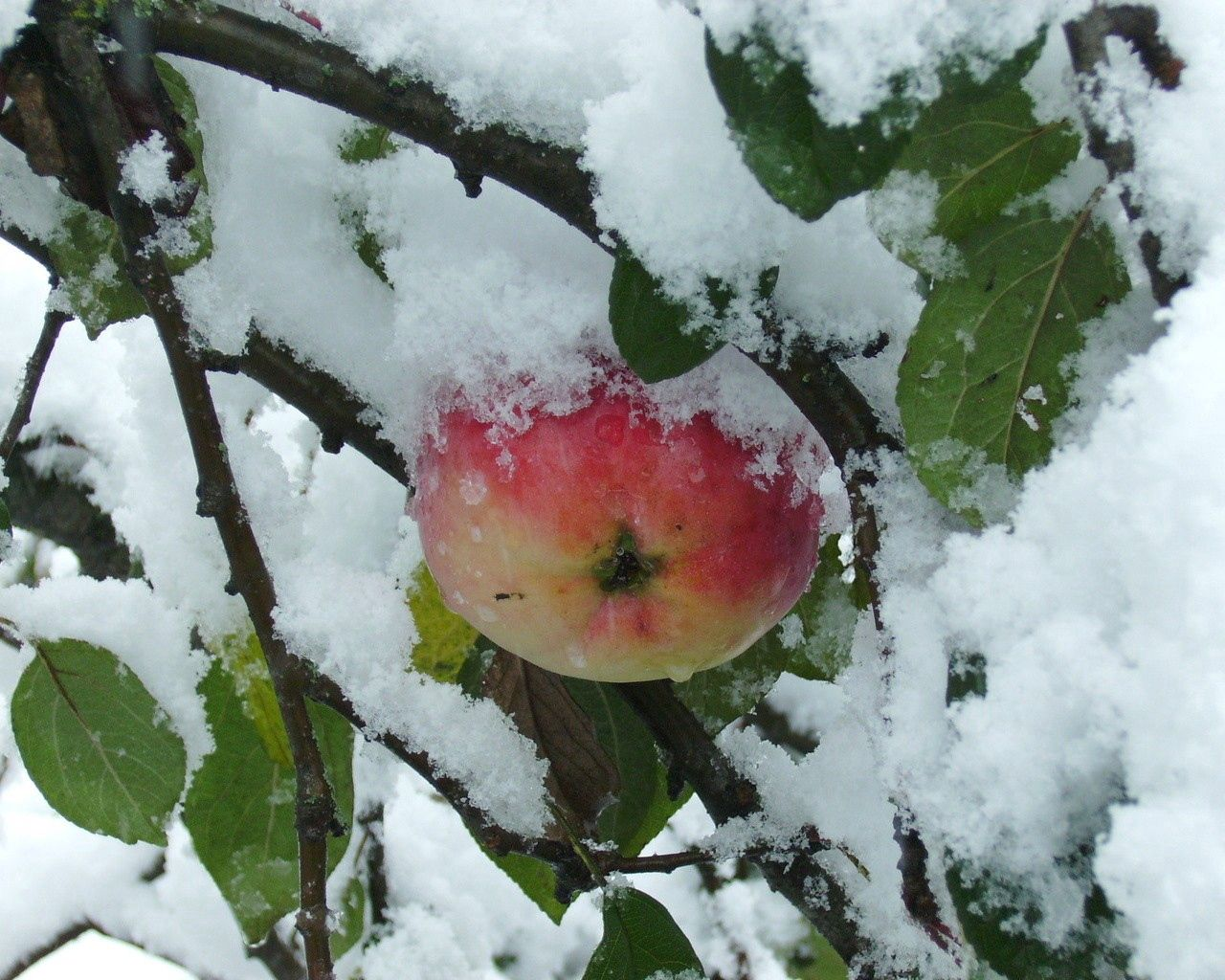 55787 Screensavers and Wallpapers Apple for phone. Download Nature, Branches, Wood, Tree, Apple, Snow, Leaves pictures for free
