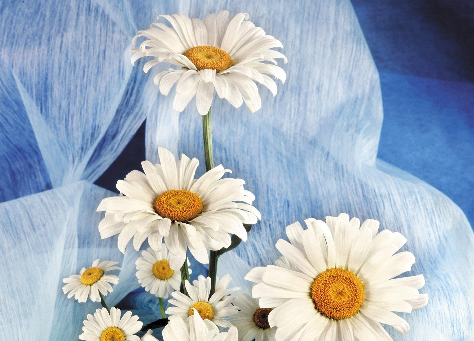 52351 download wallpaper Flowers, Camomile, Bouquet, Snow White screensavers and pictures for free