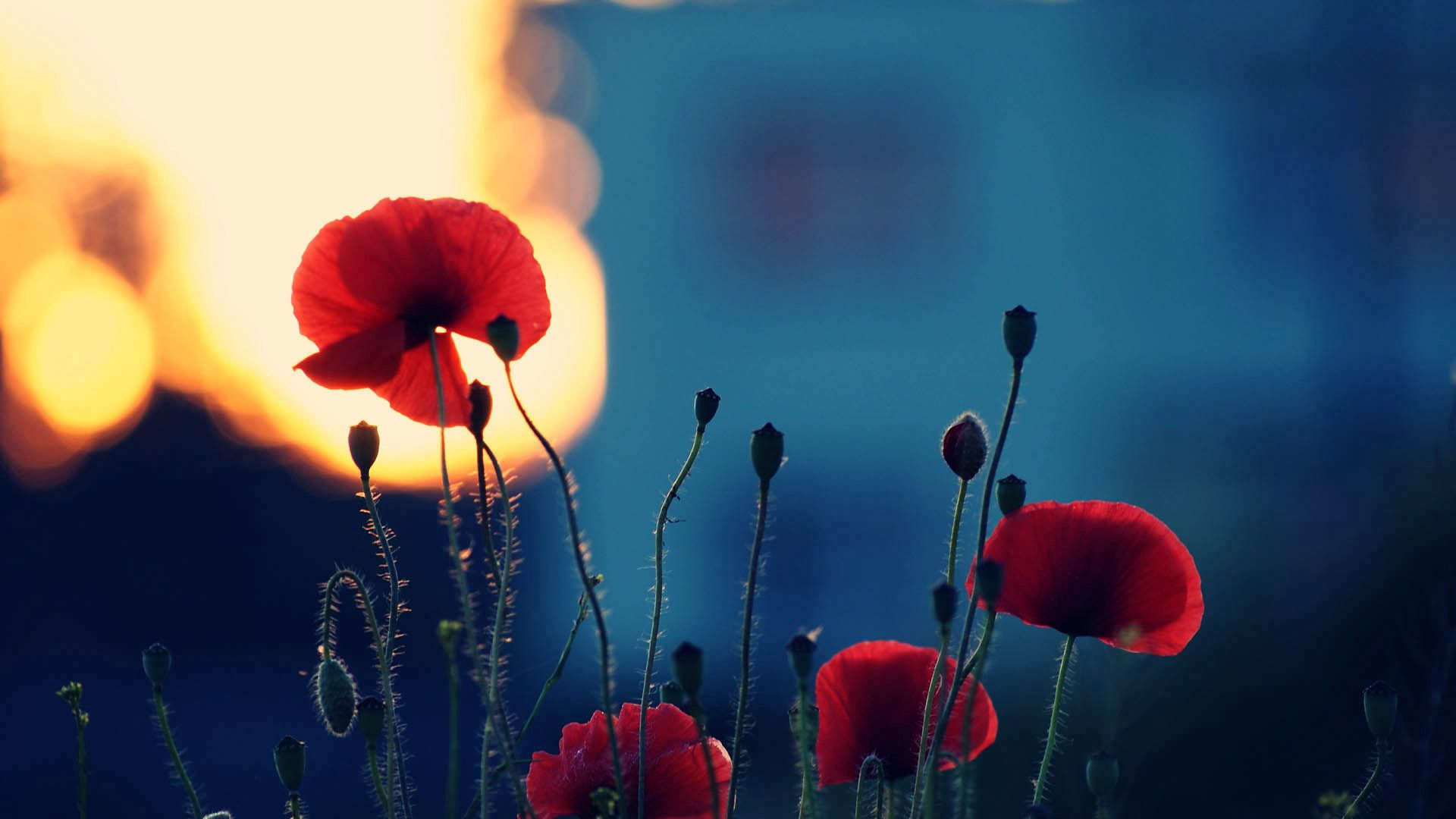 77960 Screensavers and Wallpapers Poppies for phone. Download Flowers, Poppies, Macro, Dark, Shadow pictures for free