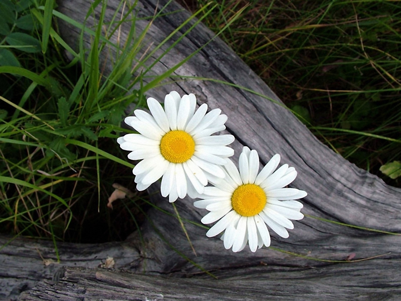 44760 download wallpaper Plants, Flowers, Camomile screensavers and pictures for free