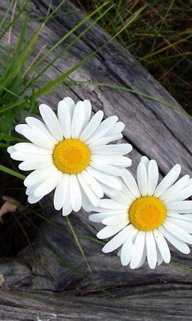 44760 télécharger le fond d'écran Plantes, Fleurs, Camomille - économiseurs d'écran et images gratuitement