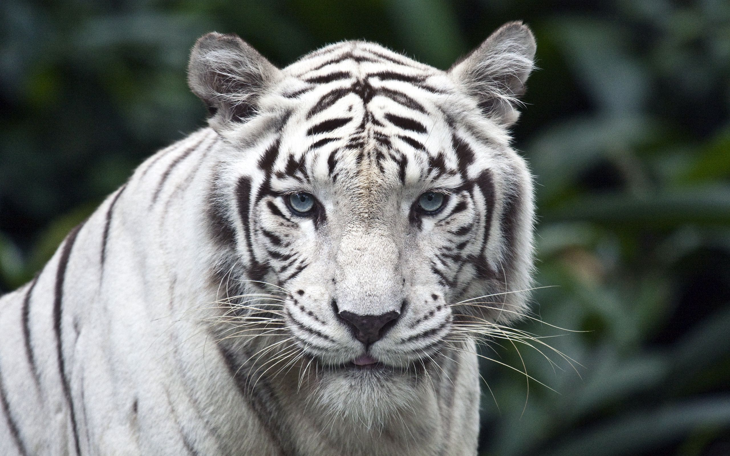 89692 download wallpaper Animals, Tiger, Predator, Big Cat, Albino, Sight, Opinion, Stripes, Streaks screensavers and pictures for free
