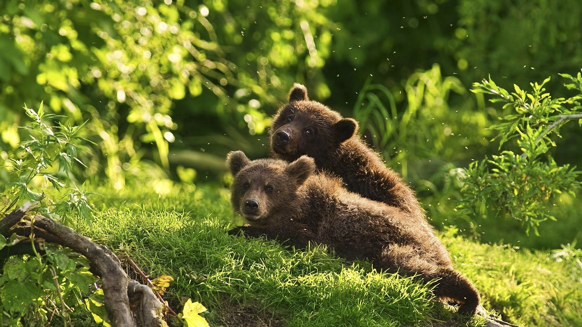 95841 Screensavers and Wallpapers Bears for phone. Download Animals, Grass, Bears, Couple, Pair, To Lie Down, Lie, Teddy Bears pictures for free