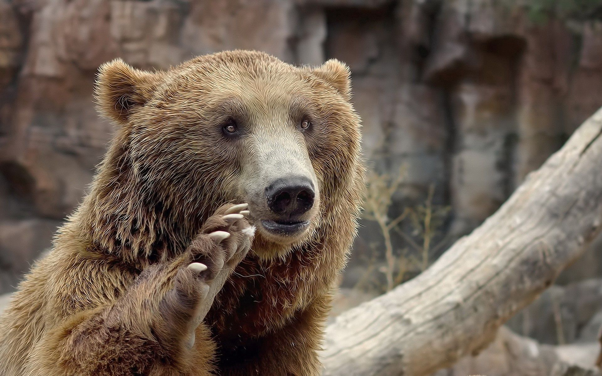 65281 download wallpaper Animals, Bear, Muzzle, Paw, Sight, Opinion, Gesture screensavers and pictures for free