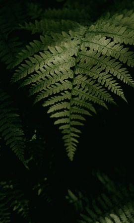 Скачать бесплатно картинку 68430: Макро, Папоротник, Растение, Листья, Зеленый, Темный обои на телефон